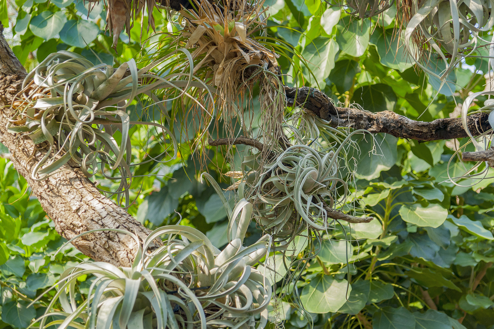 Tillandsia xerographica  growing in its native habitat. Notice how they just plant themselves right on the tree branches.