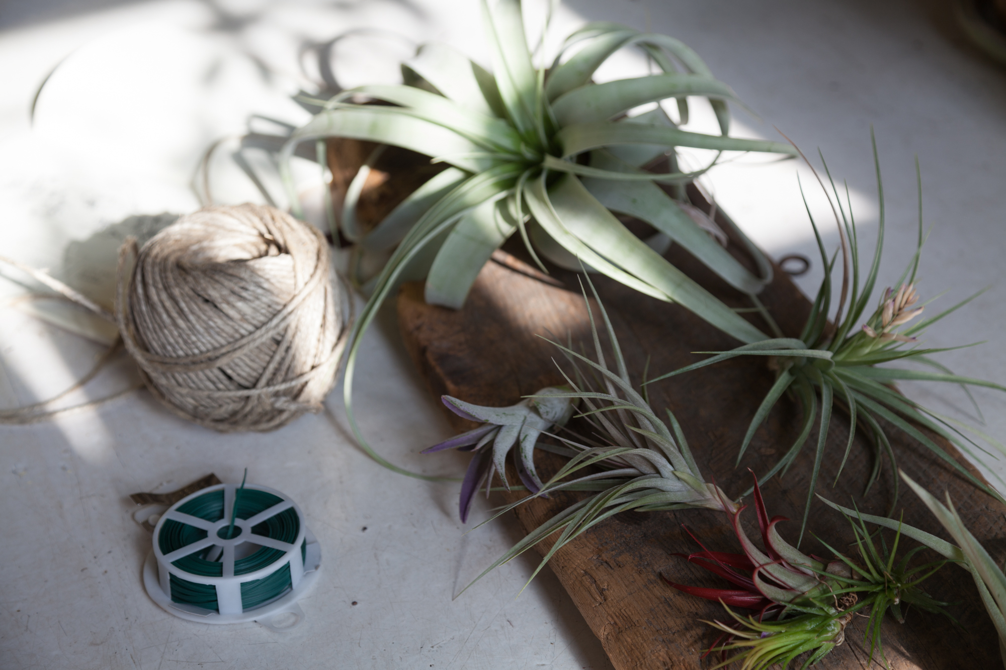 Just some of the materials that I used to create this simple, DIY air plant sculpture: Twine, wood, and air plants—of course!