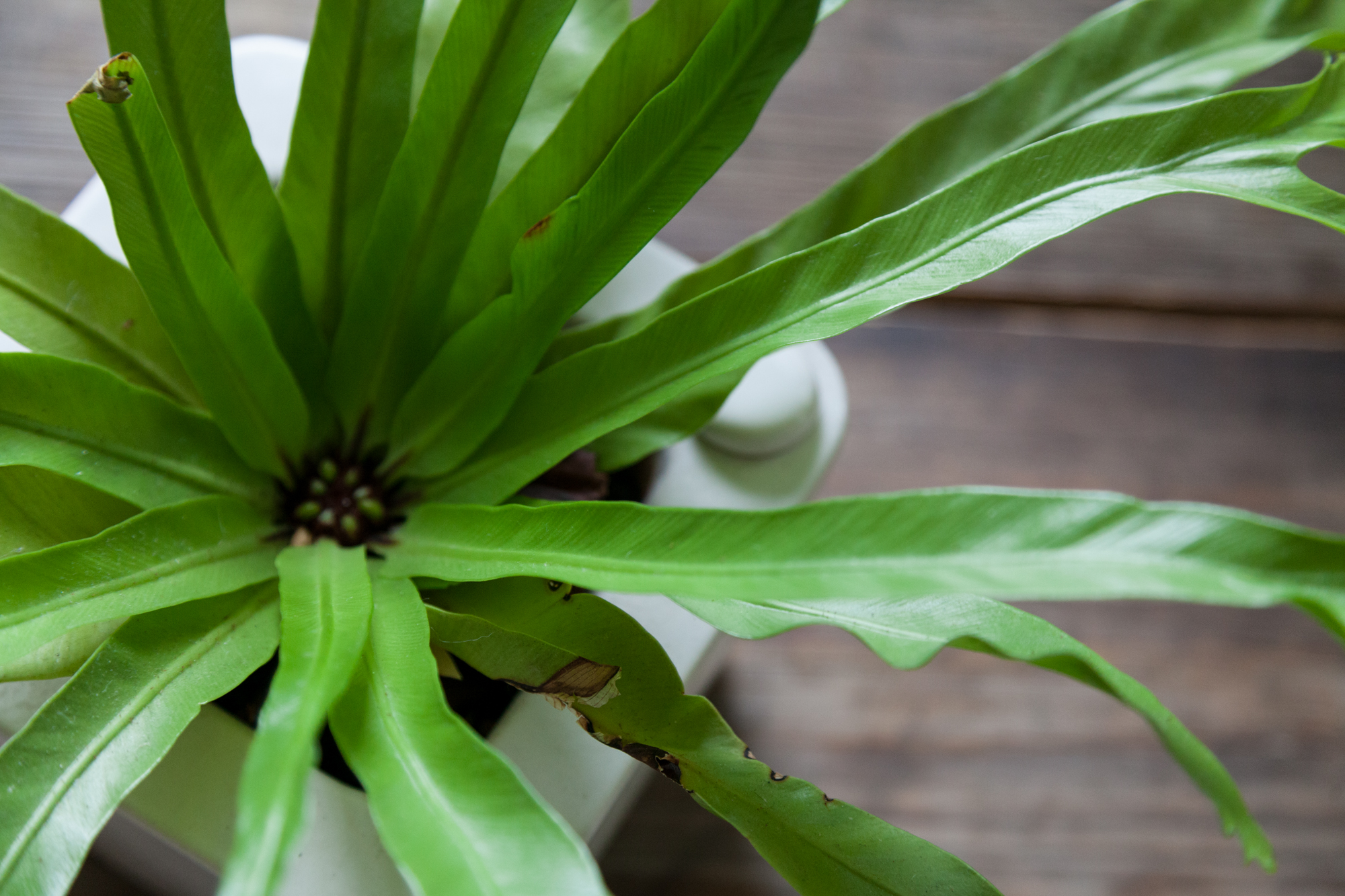 I like to keep my ferns in planters that can regulate their own water. Though this particular planter is now hard to come by, I highly recommend it. Here's my bird's nest fern in this planter.