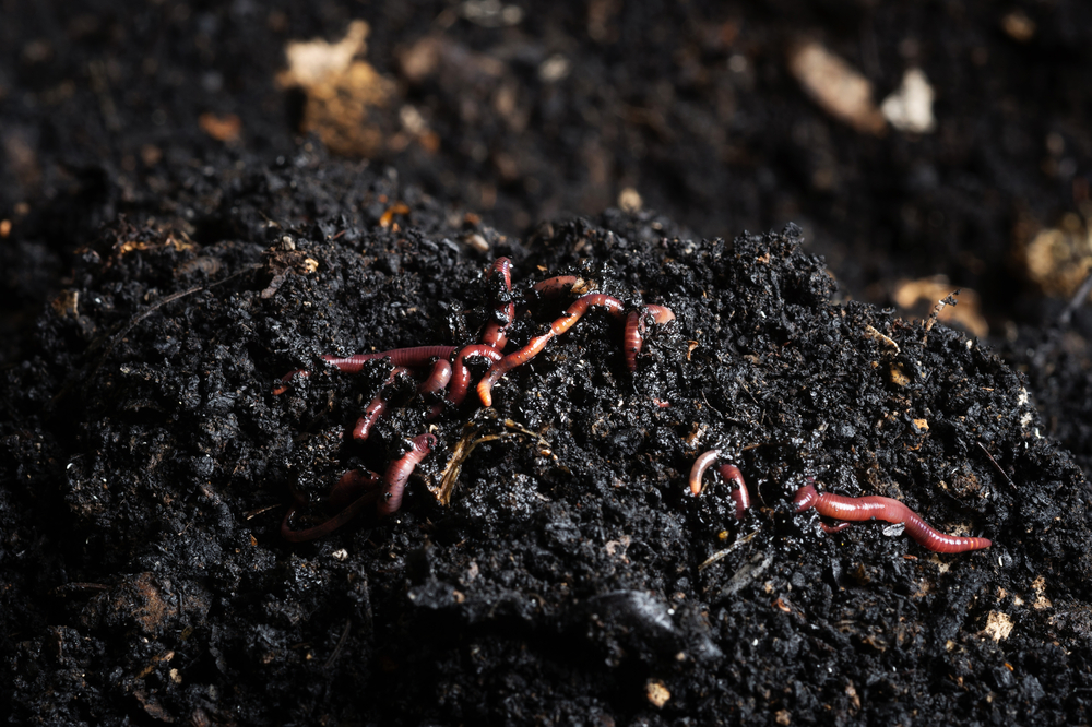 """That rich black soil that you see is actually worm poop! Red wigglers, which are a type of composting worm, digest decaying plant matter and turn it into nutrient-rich """"soil"""" out their other end."""