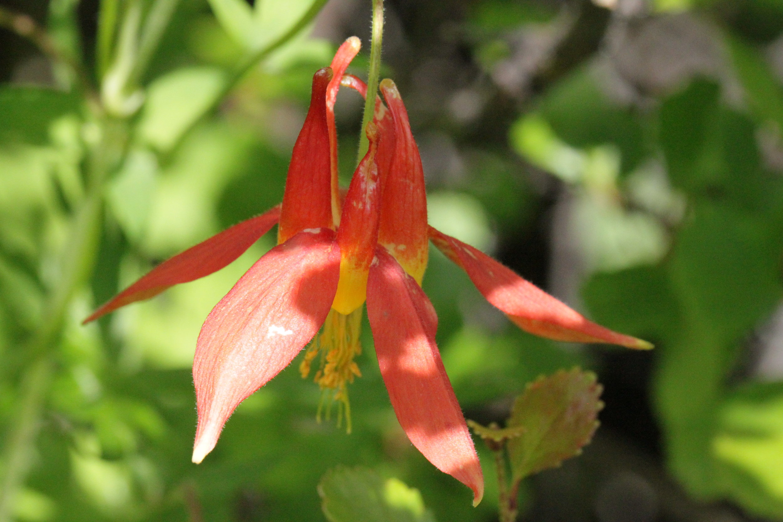 Red columbine was also quite plentiful throughout the meadows ( Aquilegia formosa ).