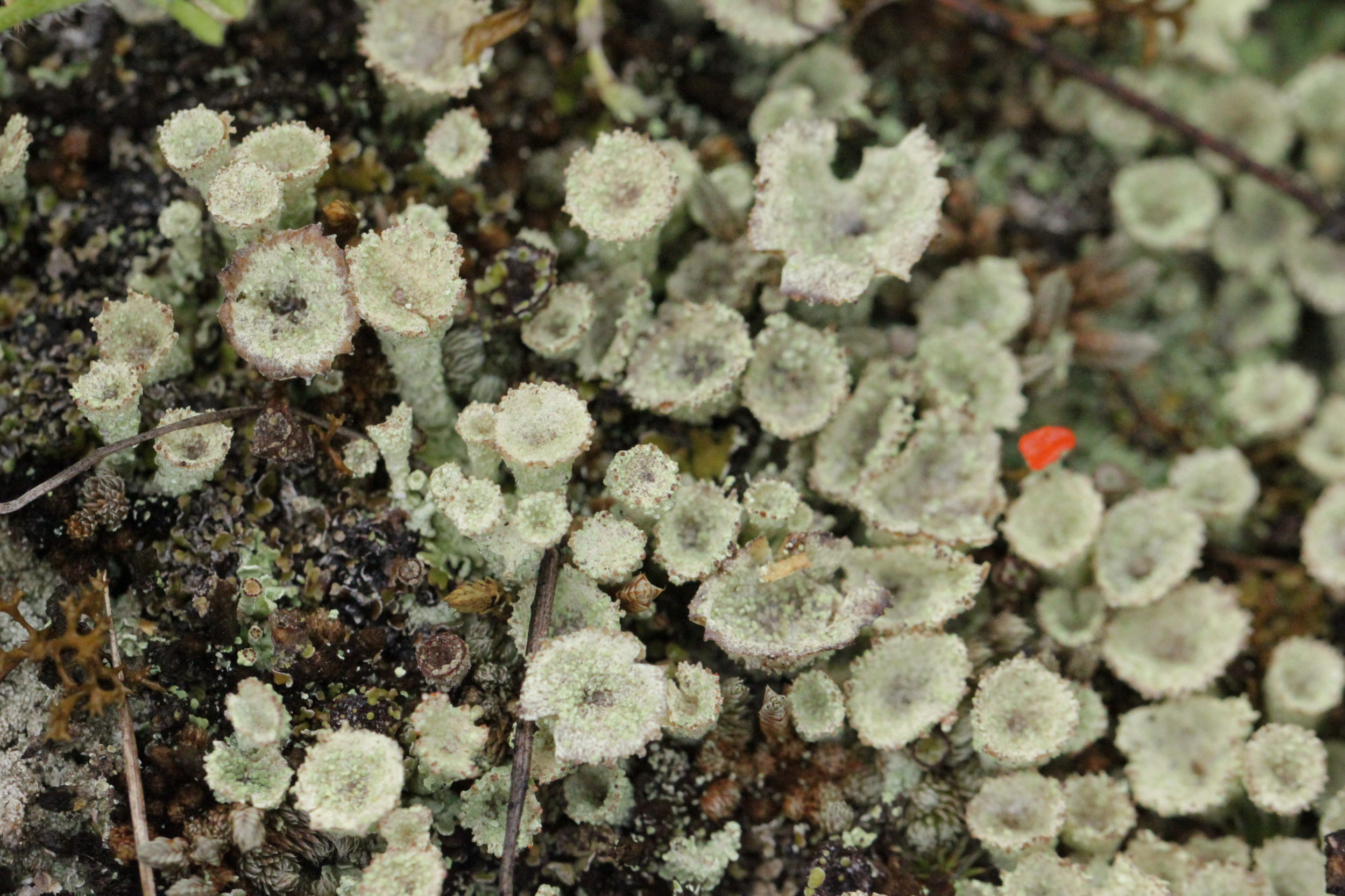 Pixie cup lichen ( Cladonia asahinae ) and one lone Red soldier lichen ( Cladonia cristatella ). I often notice these two growing together.