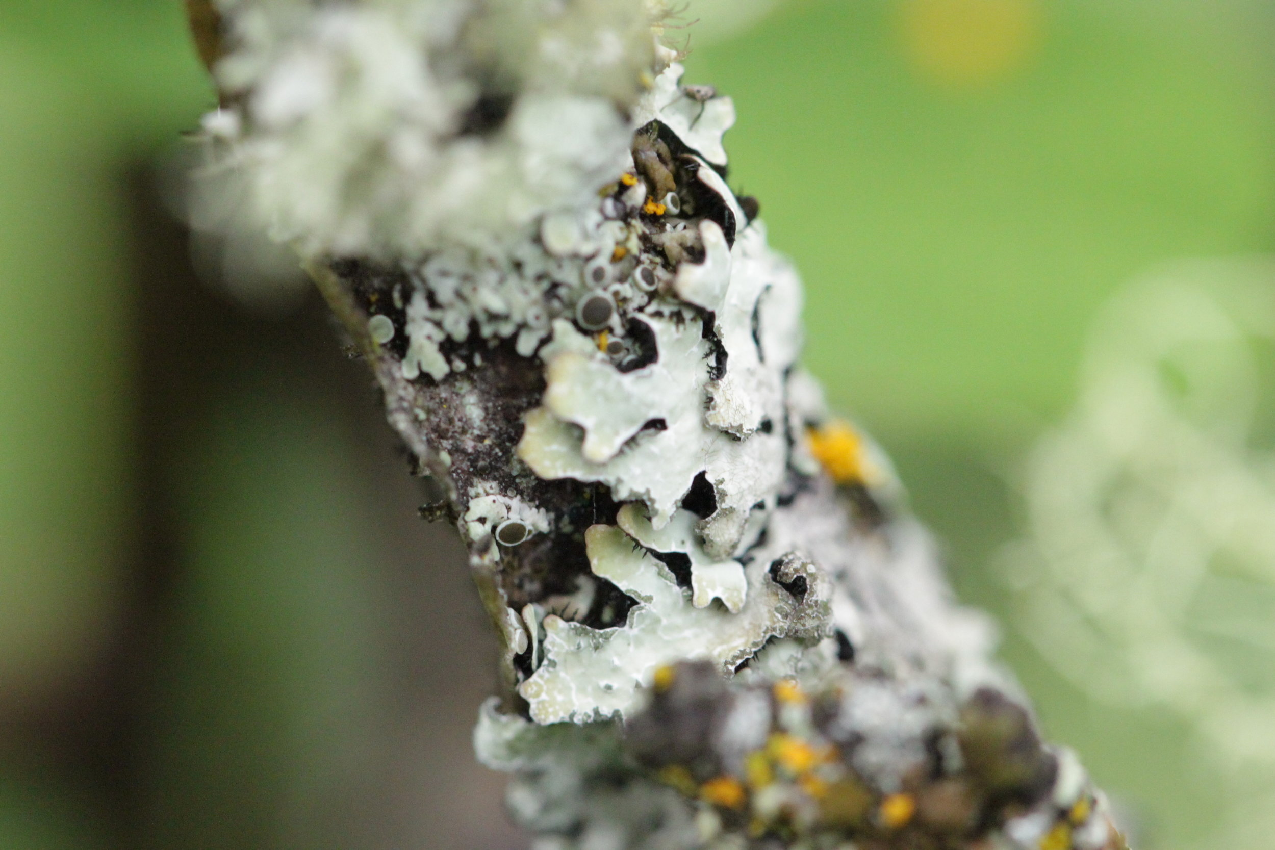 One of the species of Shield lichens growing on a twig.