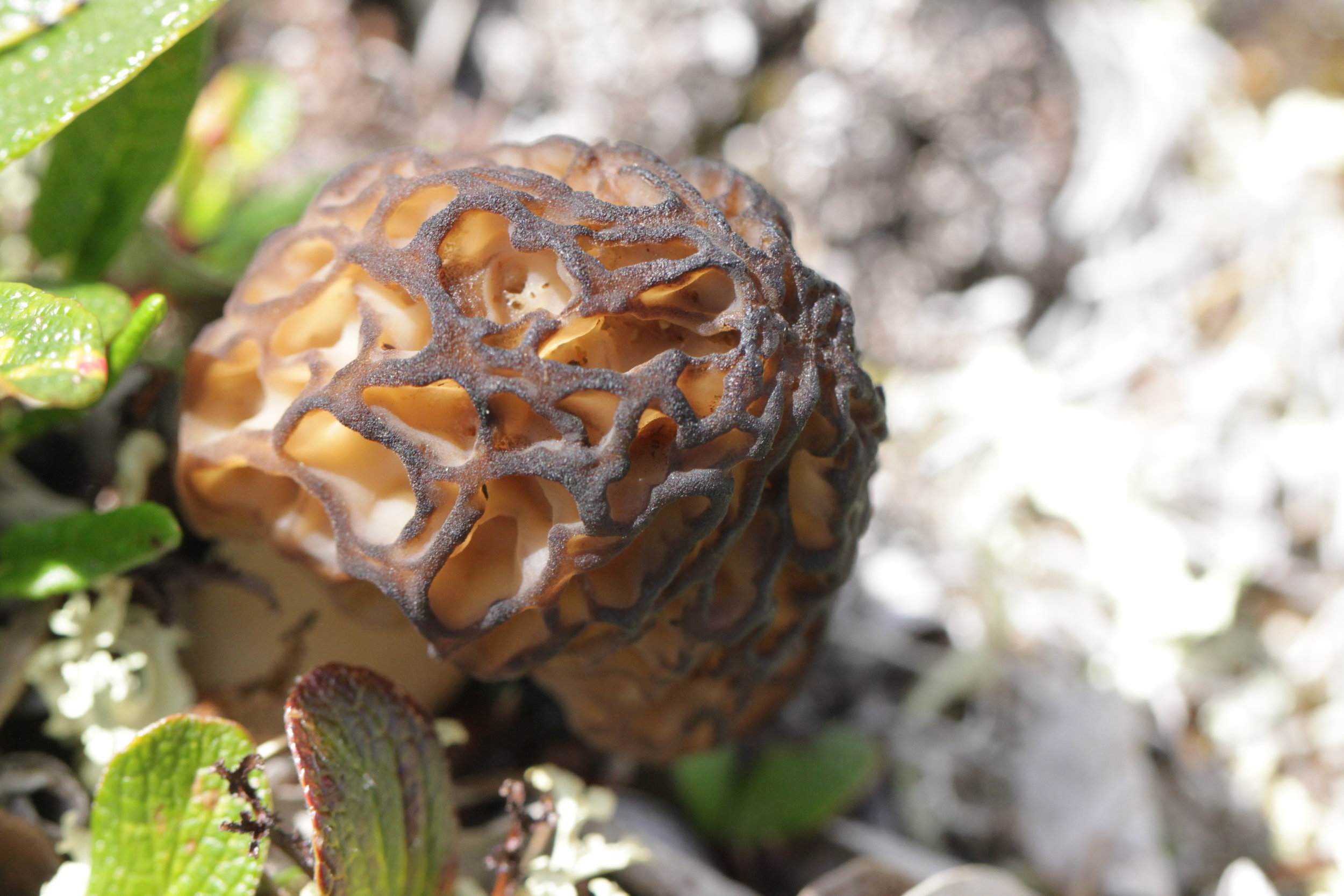 I spotted the first black morel on top of one of the highest peaks on Sky Mountain. It was just out in the open, in plain site, and not near any trees.