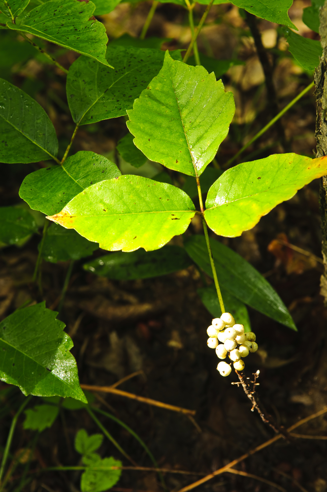poison-ivy-berries.jpg