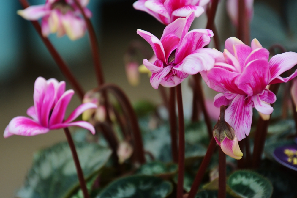 Cyclamens are commonly sold in winter markets, particularly for their showy blooms, but know that this is one of those Goldilox plants. It doesn't like to be too wet or too dry.
