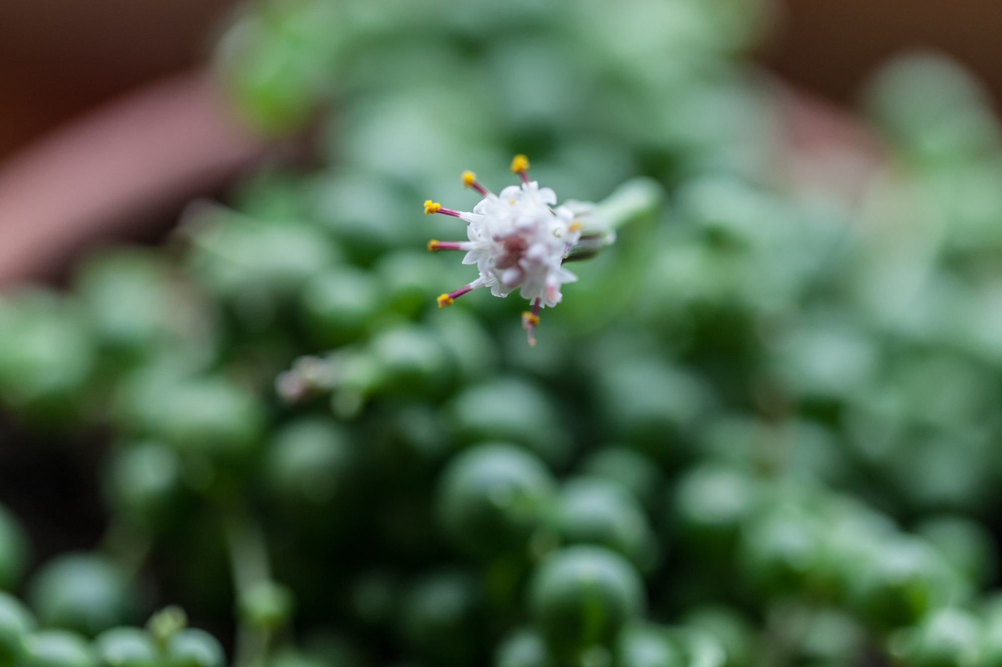String-of-pearls ( Senecio rowleyanus ) is a succulent within the Aster family, which is easy to see after you see its small but showy aster-like flowers.