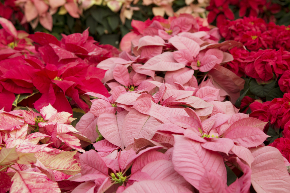 Also in the Euphorbia genus, Poinsettia ( Euphorbia pulcherrima ) is bred for its showy bracts, which are modified leaves which are often mistaken for flowers. As a matter of fact, however, it is their Inconspicuous yellow flowers that are actually blooming while the bracts get all the attention.
