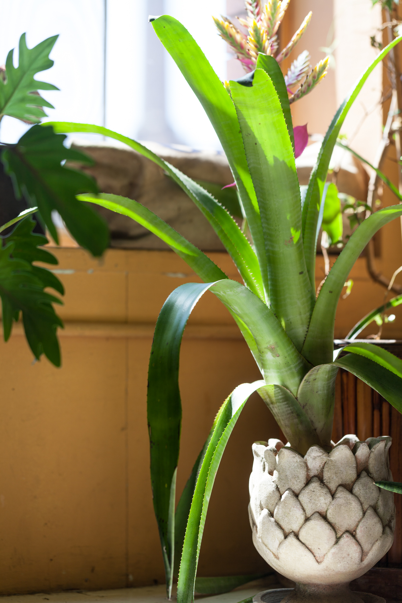 How To Care For A Bromeliad After It Blooms Homestead Brooklyn