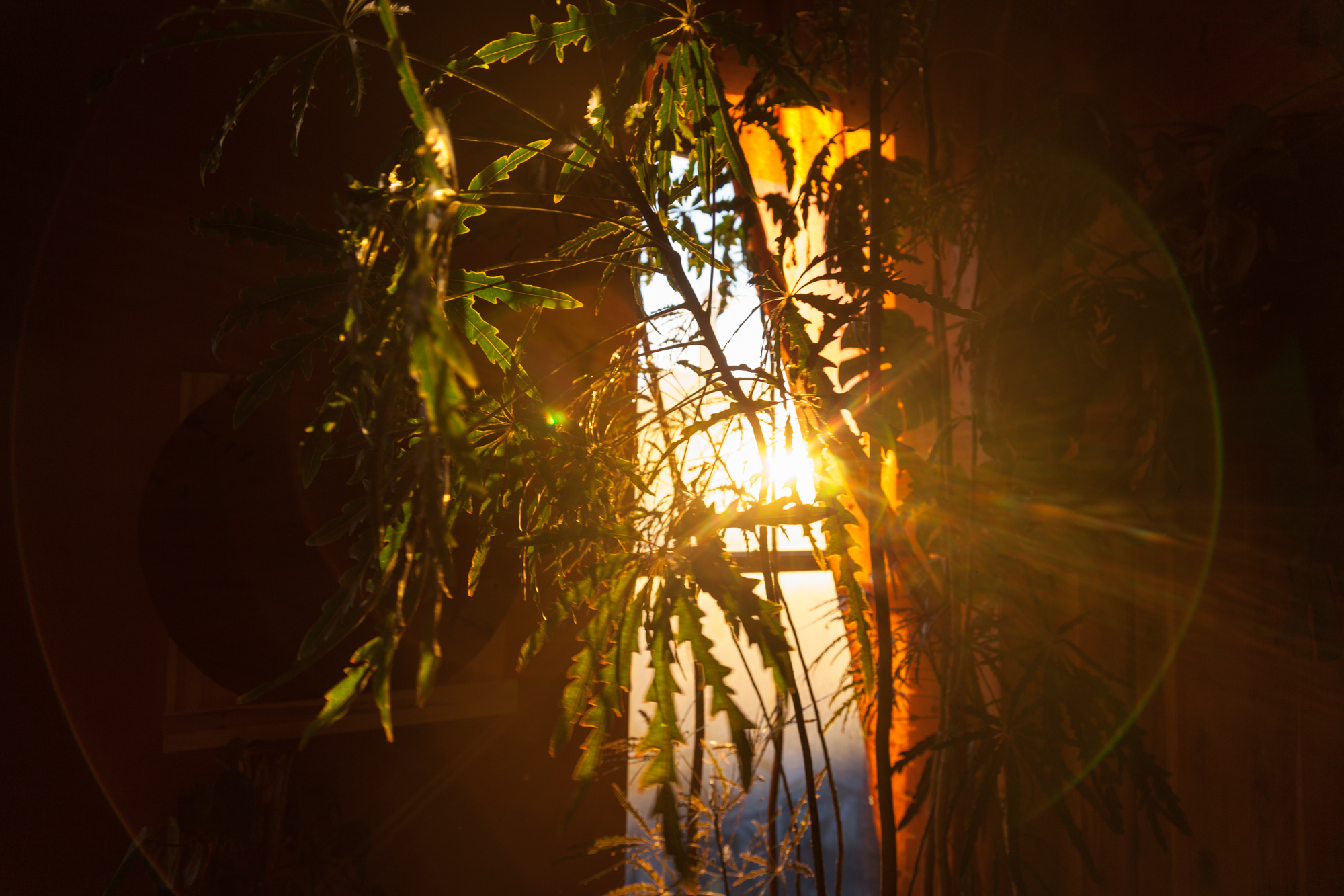 Sun setting through the false aralia ( Plerandra elegantissima )