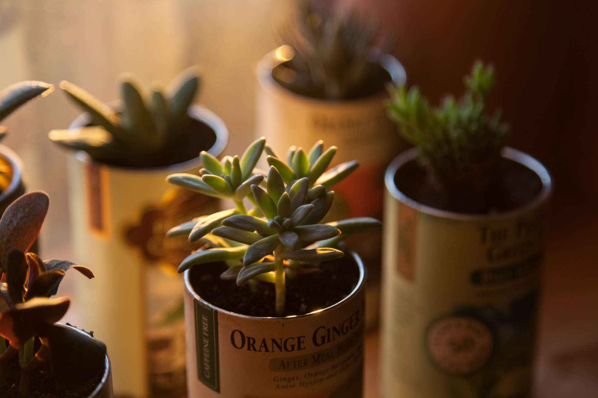 Succulents cast with an orange glow from the sun.