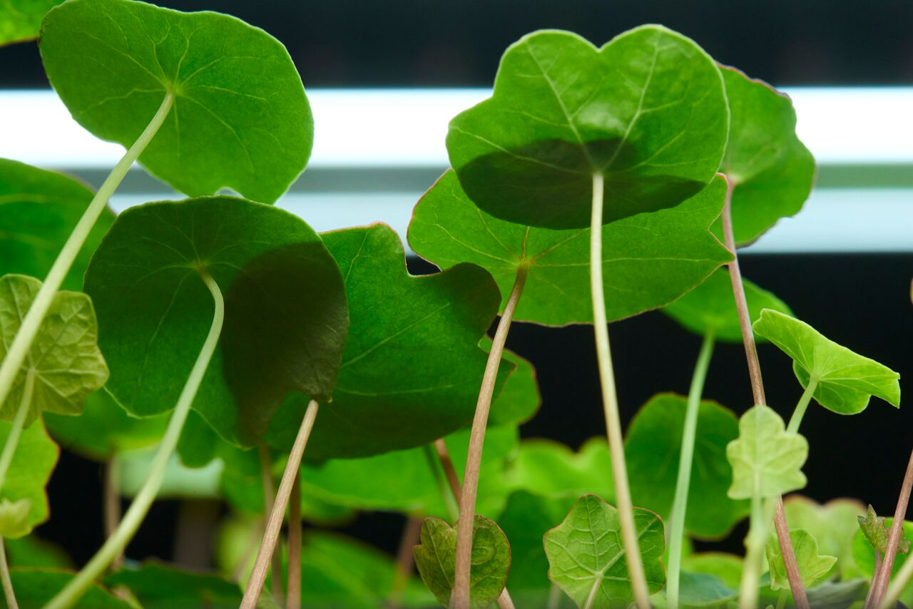 Nasturtiums ( Tropaeolum  sp.) growing in LED light at Farm One. The farms gives tours and allows chefs to come sample as well.