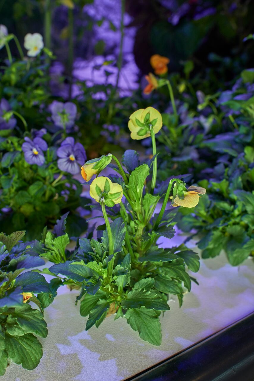 Some of Rob's favorite varieties are the edible flowers, like these violas.
