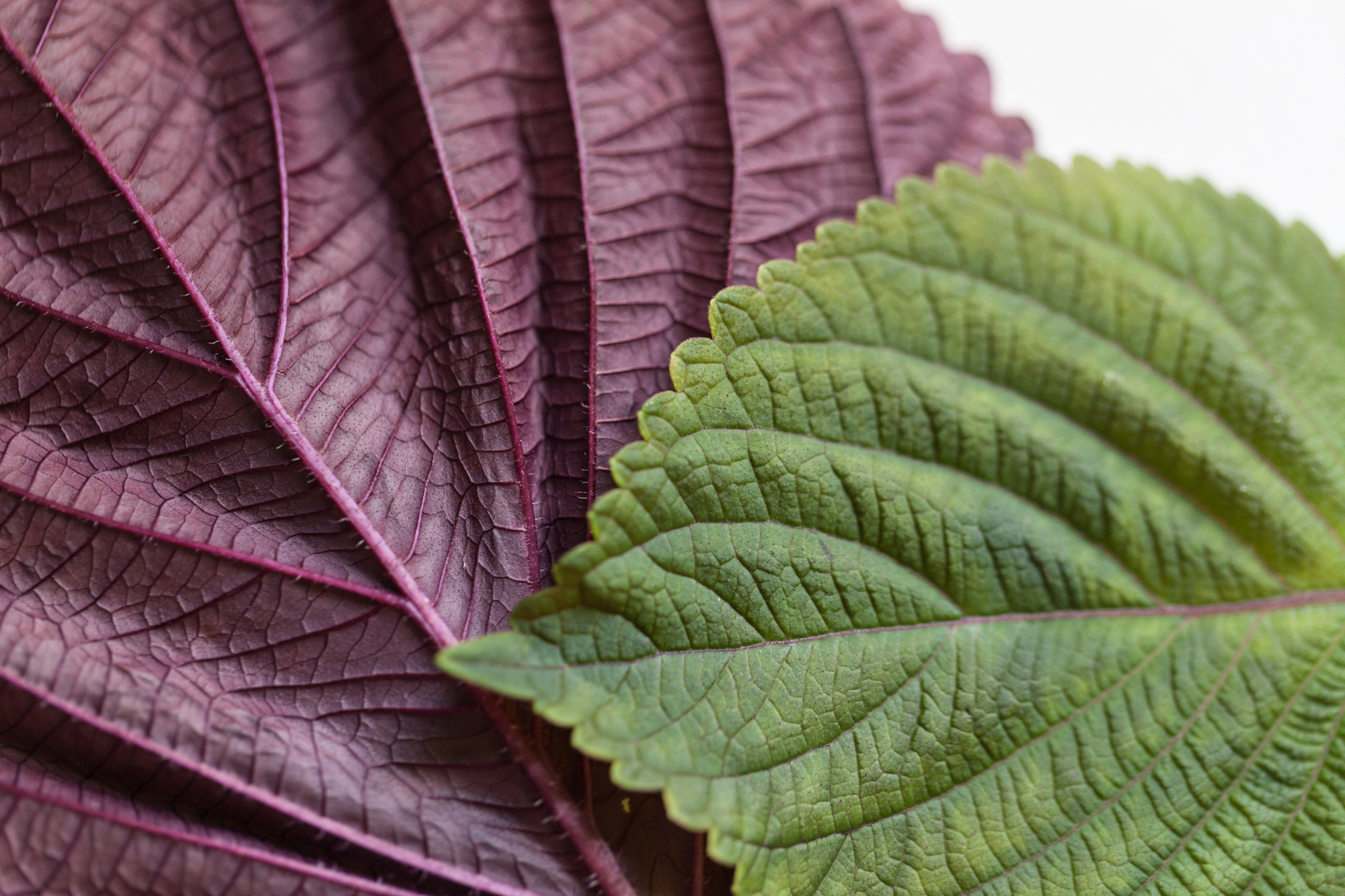 Red shiso ( Perilla frutescens ) is another interesting herb, which has a noticeable cinnamon or clove flavor, with a little hint of cumin. It's popular in Asian cooking.