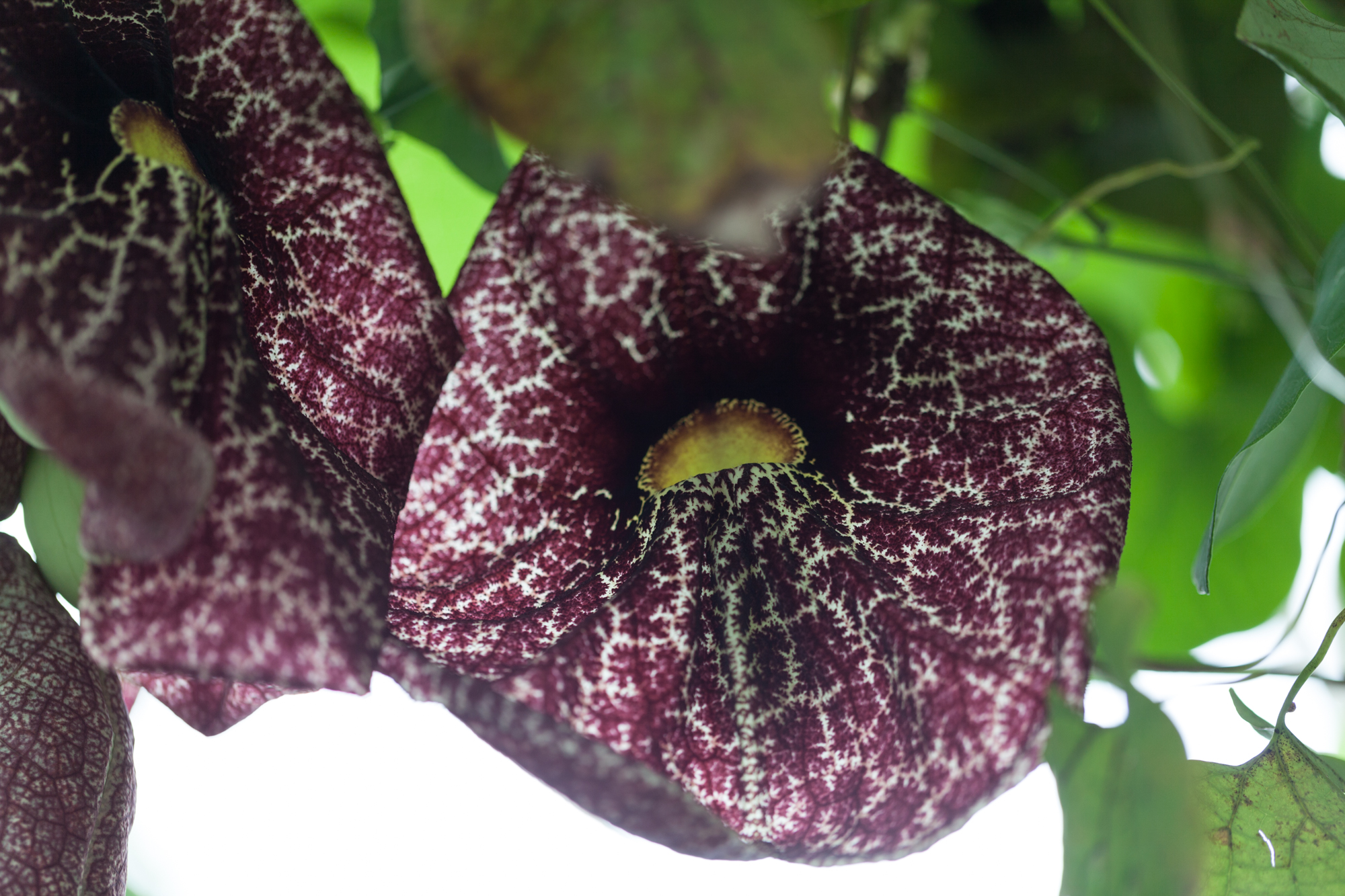 Pelican flower ( Aristolochia grandiflora ) is always a crowd-pleaser.