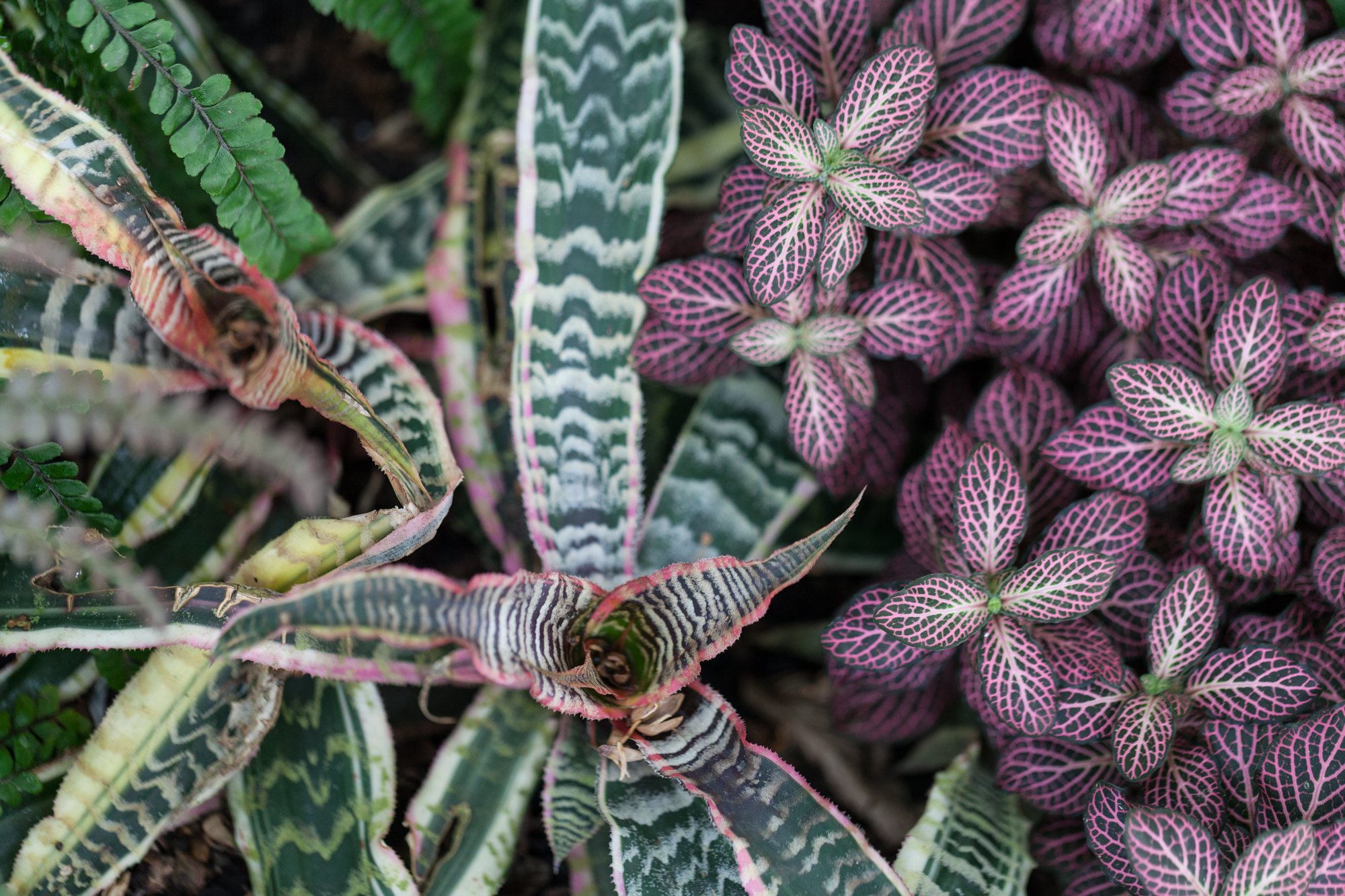 Cryptanthus  and  Fittonia  at the New York Botanical Gardens.
