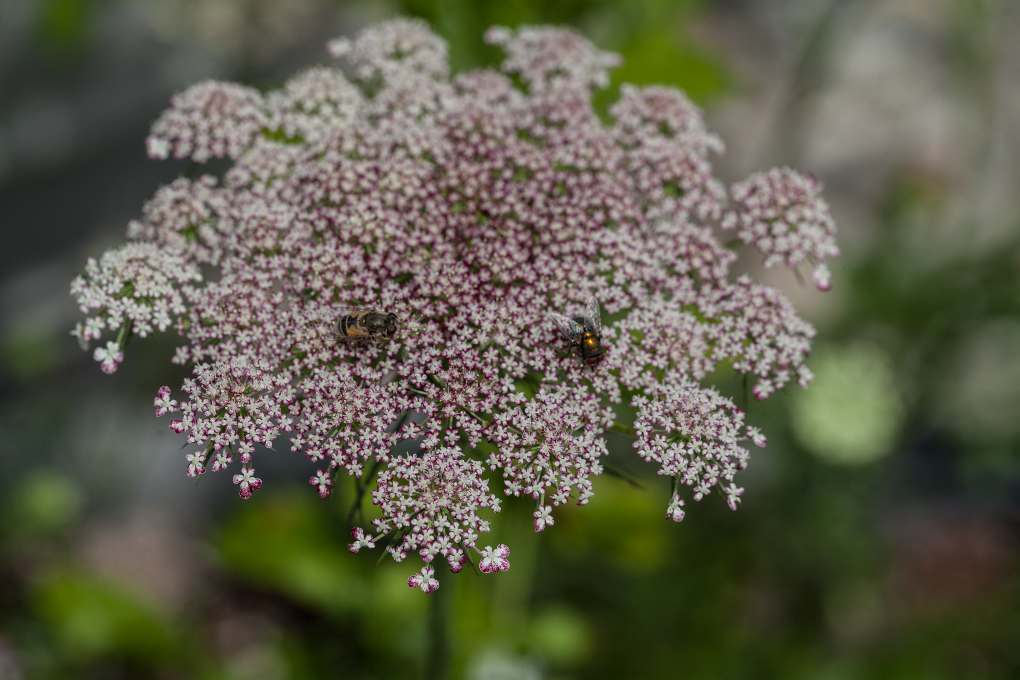 """Queen Anne's lace with bee fly and green bottle fly. The Queen Anne's lace, which is a member of the carrot family, attracts fly-pollinators by flaunting a little black dot in the center of the flower head. Flies often come down to """"mate"""" with it, mistaking it for a female fly."""