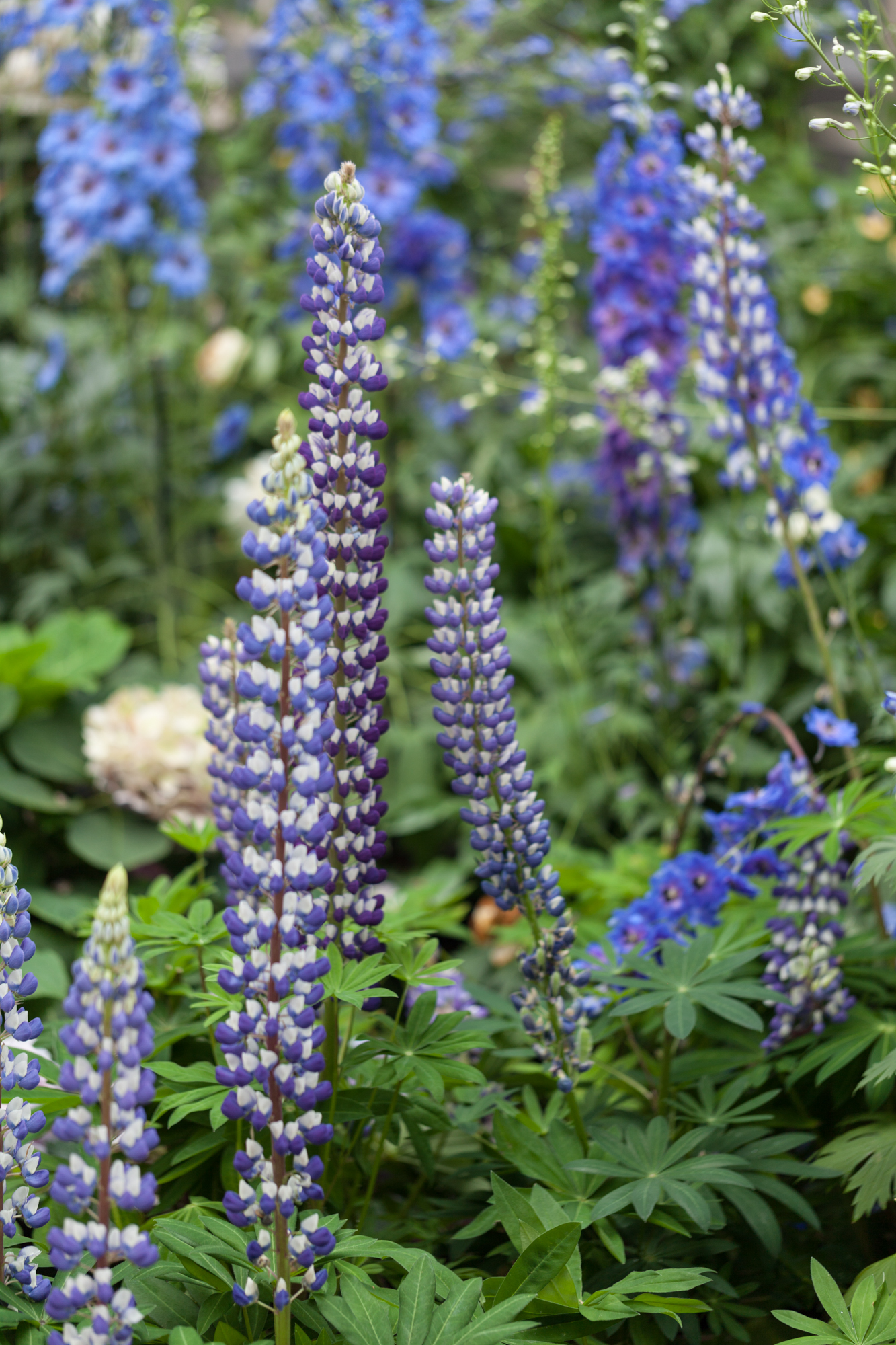 Lupine ( Lupinus  sp.) in full bloom.