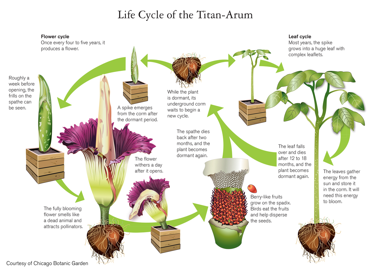 life-cycle-of-corpse-flower.jpg