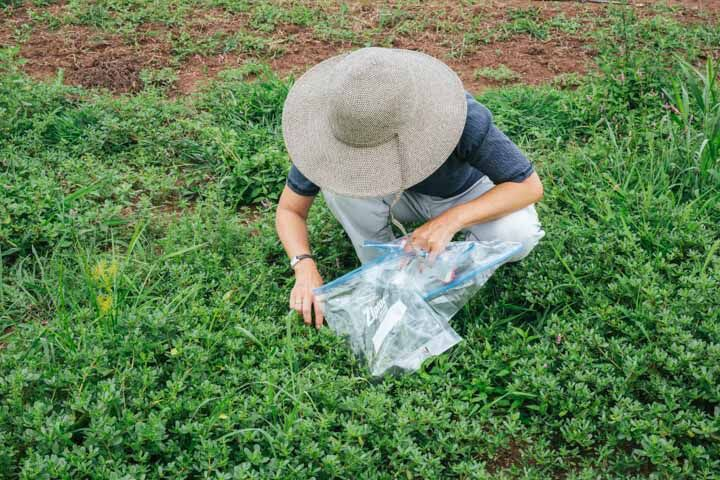 Tama foraging for purslane ( Portulaca oleracea ) in New Jersey.
