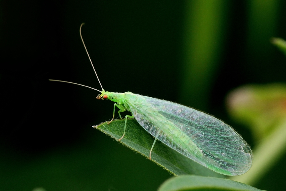 The green lacewing ( Chrysoperla carnea ) adult is both delicate and beautiful. Adults typically will feed on nectar and pollen, but will also feast on adult aphids, though are not as voracious as their larvae.