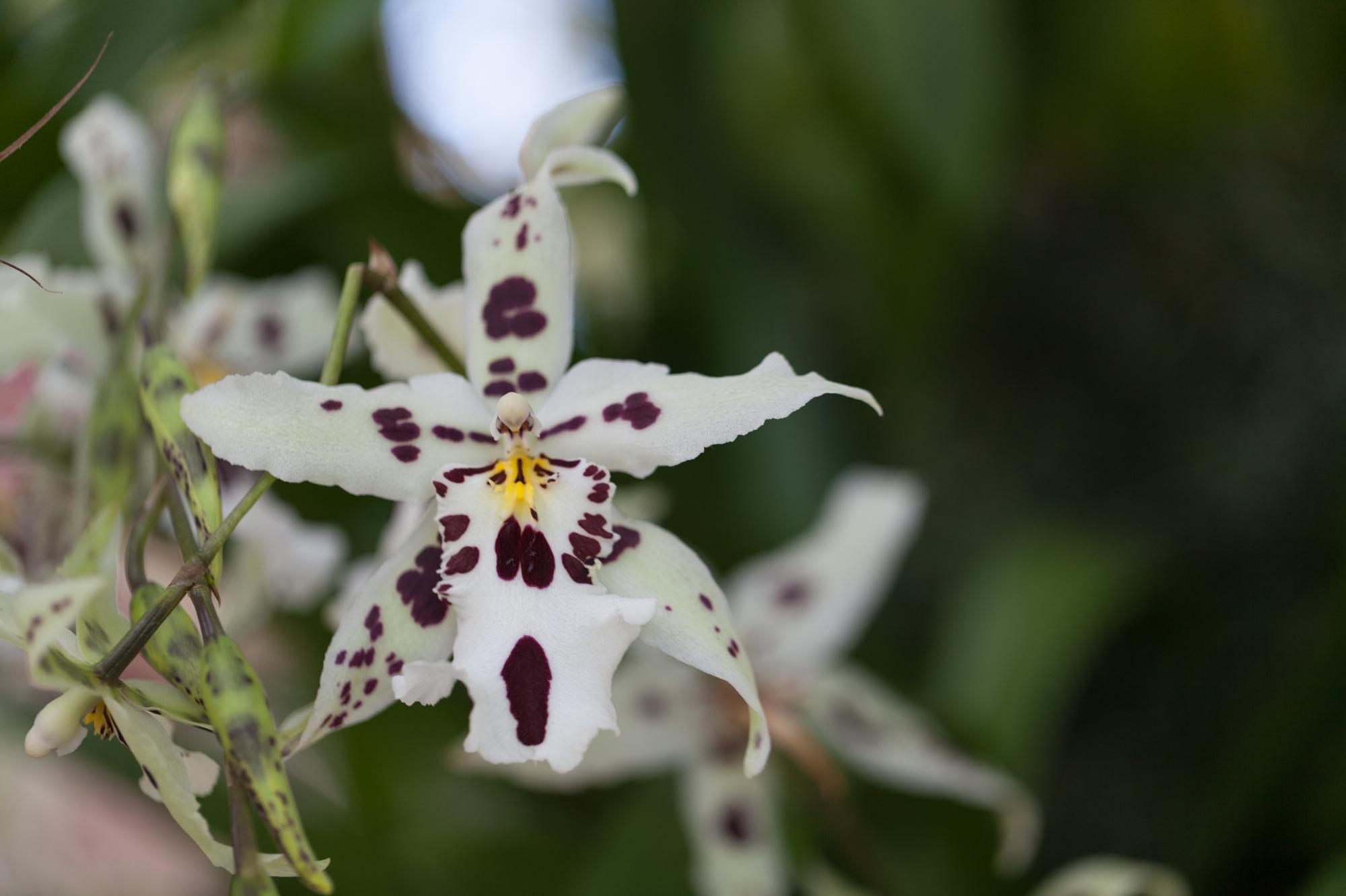 snowflake-orchid.jpg