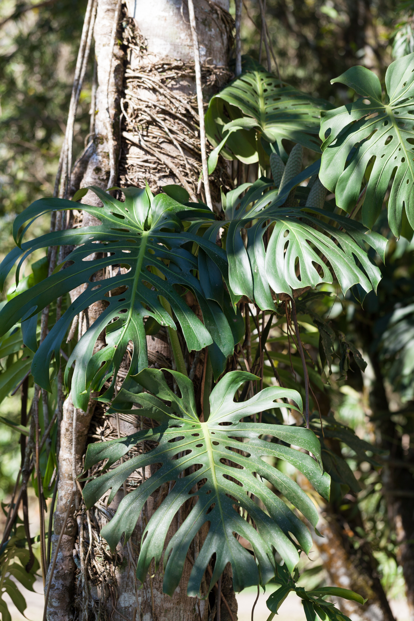 Monstera deliciosa  wrapped tightly around tree.