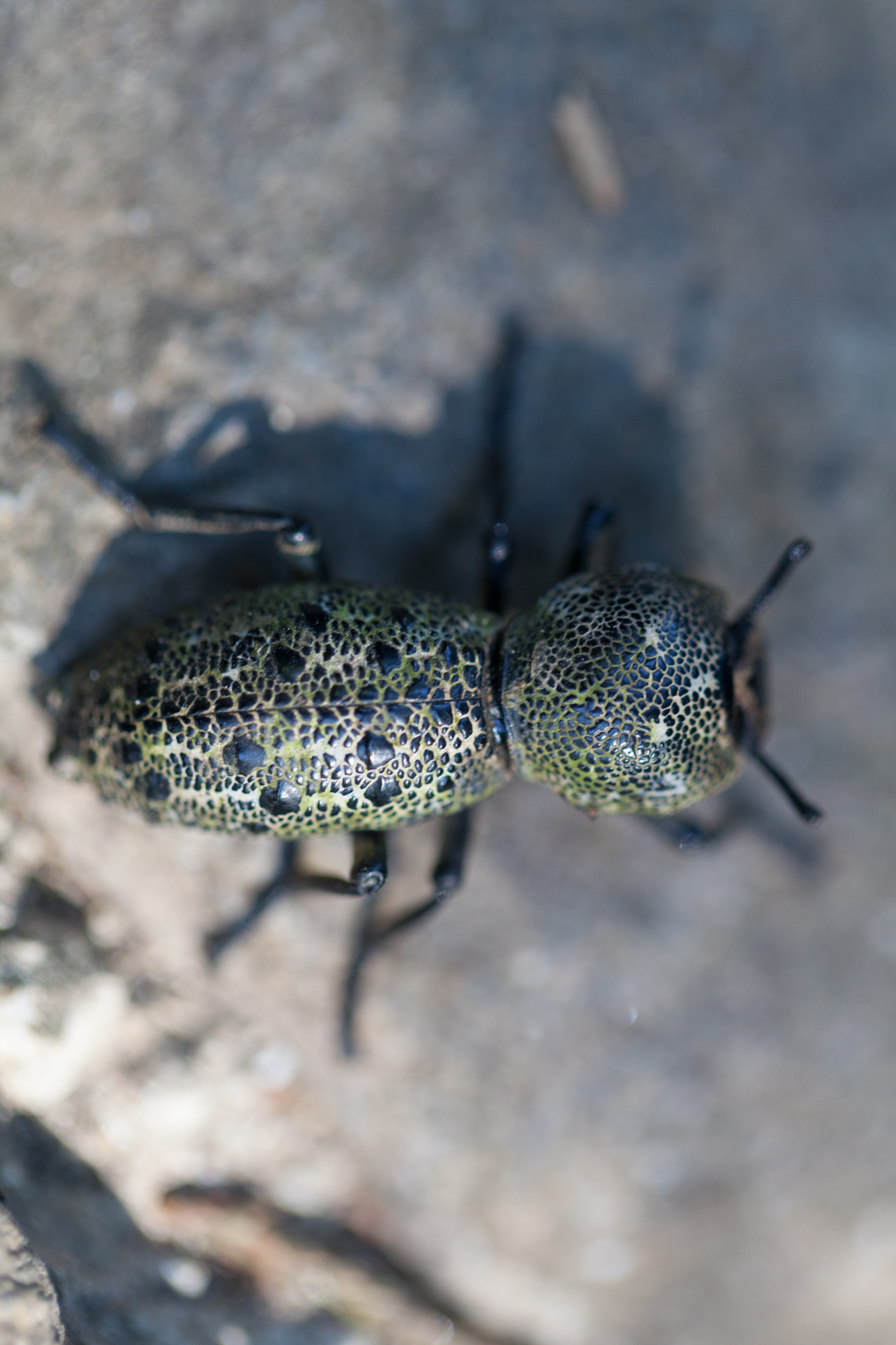 Ironclad beetle ( Zopherus jansoni ): The elytra are fused on this beetle and the antenna are relatively stubby, so I was able to make a firm identification on this bug.