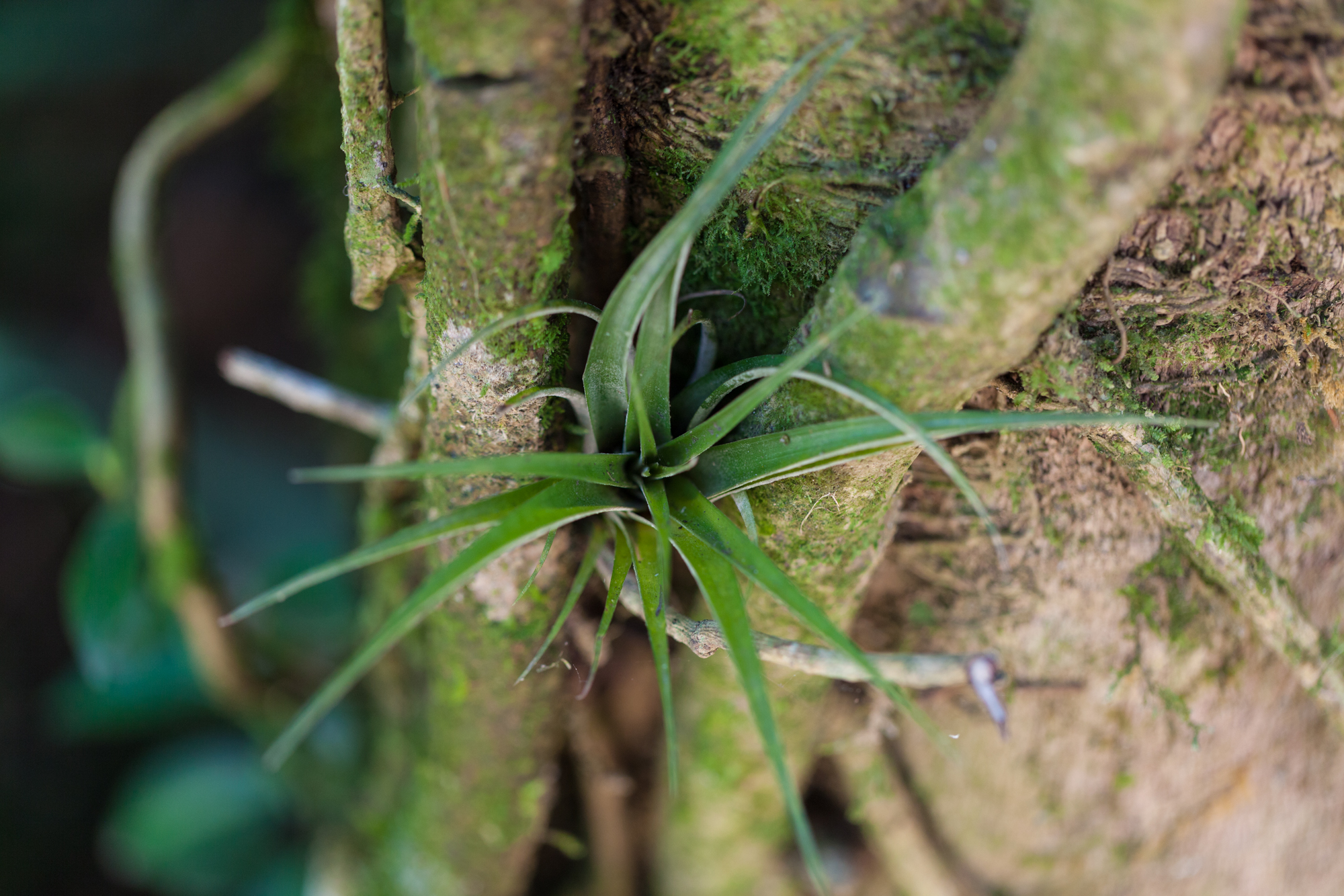Epiphytes, like this  Tillandsia,  abounded in Costa Rica.
