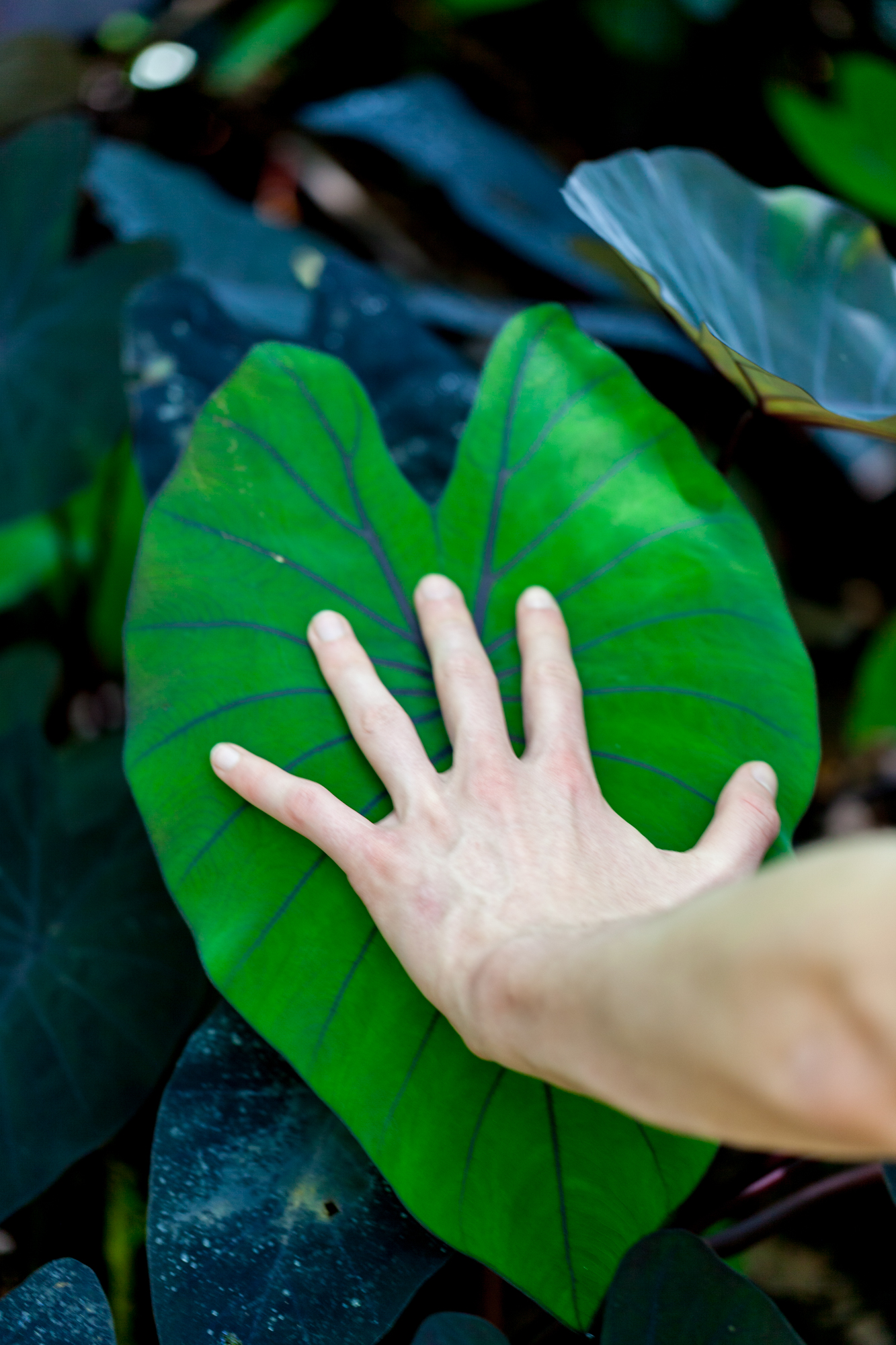 Colocasia-Costa-Rica.jpg