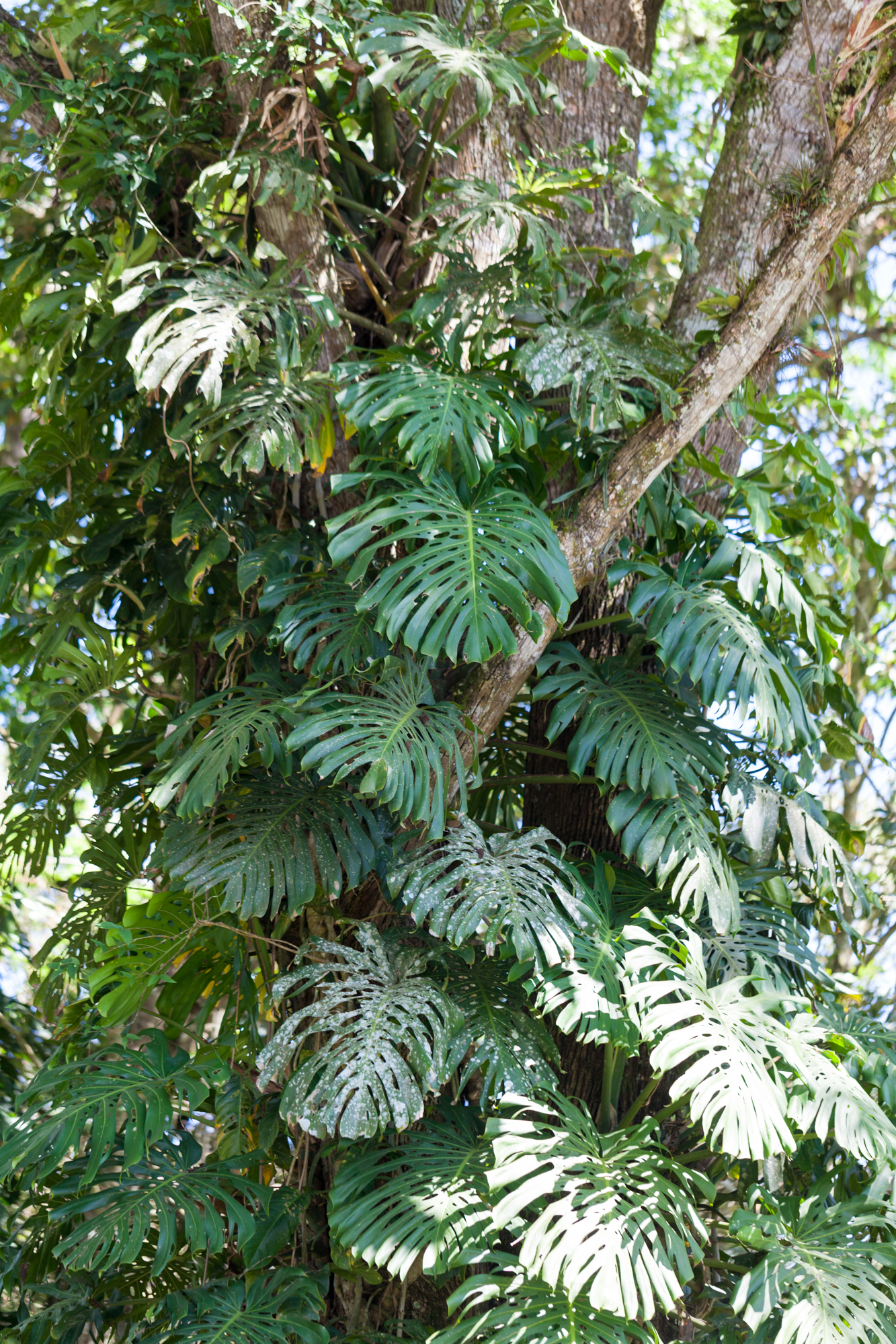 A  Monstera deliciosa  climbs high with intent at the Lankester Botanical Gardens in Costa Rica.