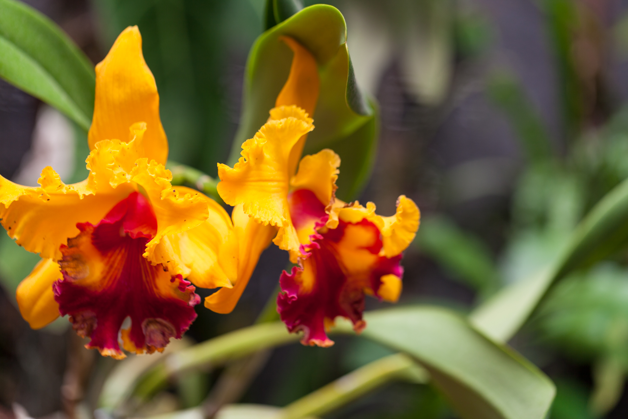 I believe this orchid is in the  Cattleya  genus.
