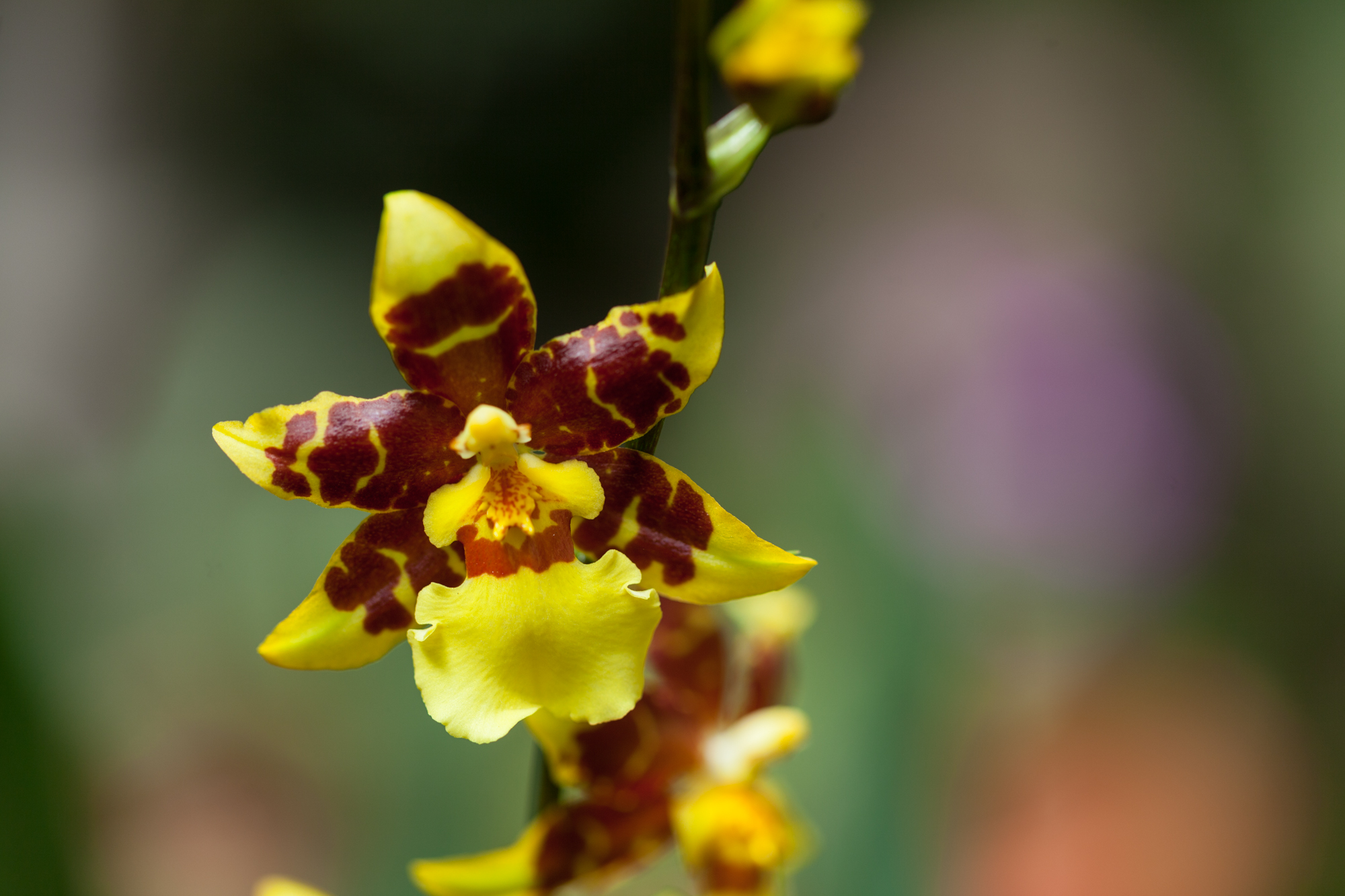 An  Oncidium  or dancing lady orchid, which was also prominently displayed at the New York Botanical Garden Orchid Show as well.