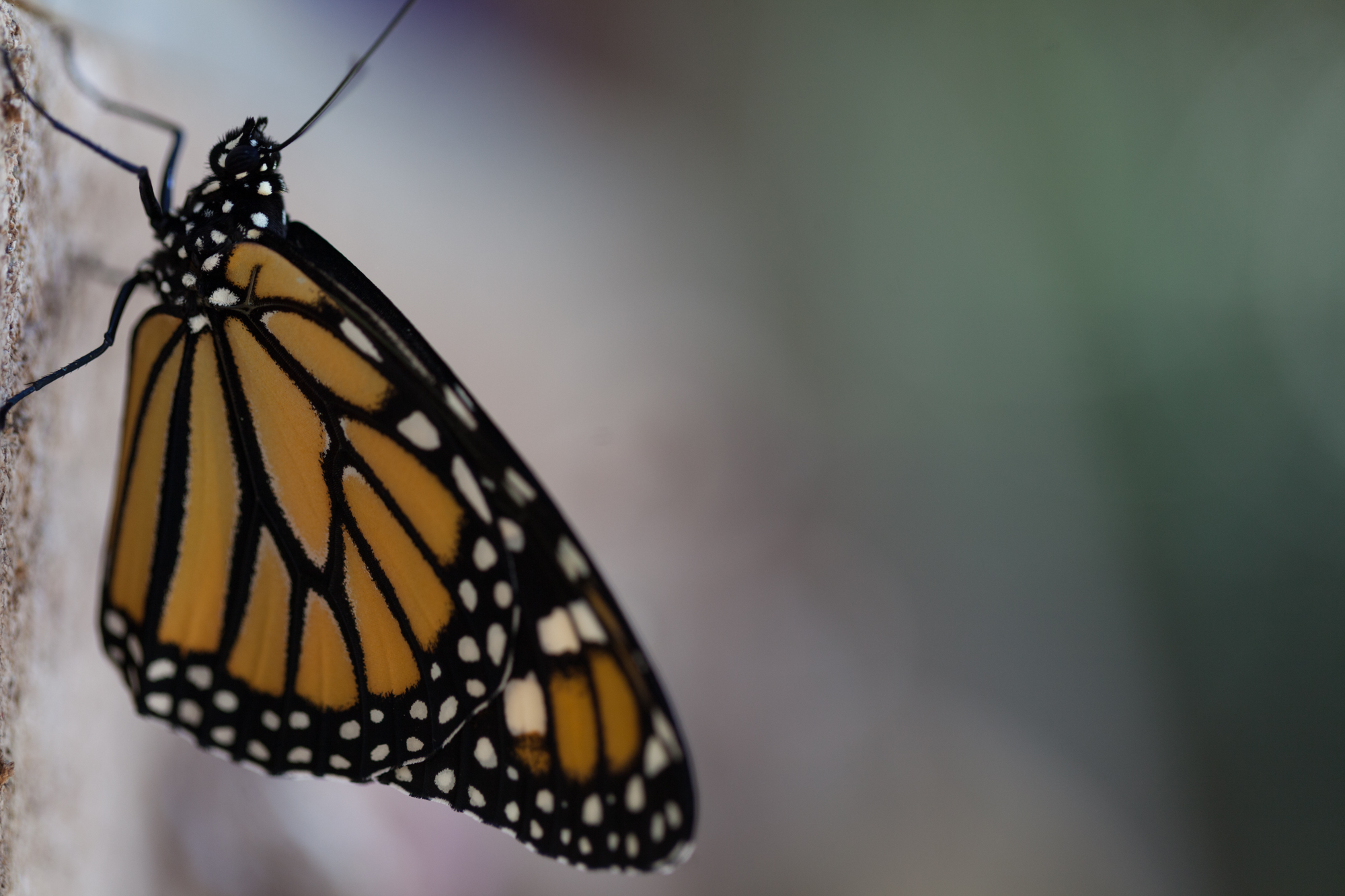 A monarch butterfly ( Danaus plexippus ) takes a rest from flying.