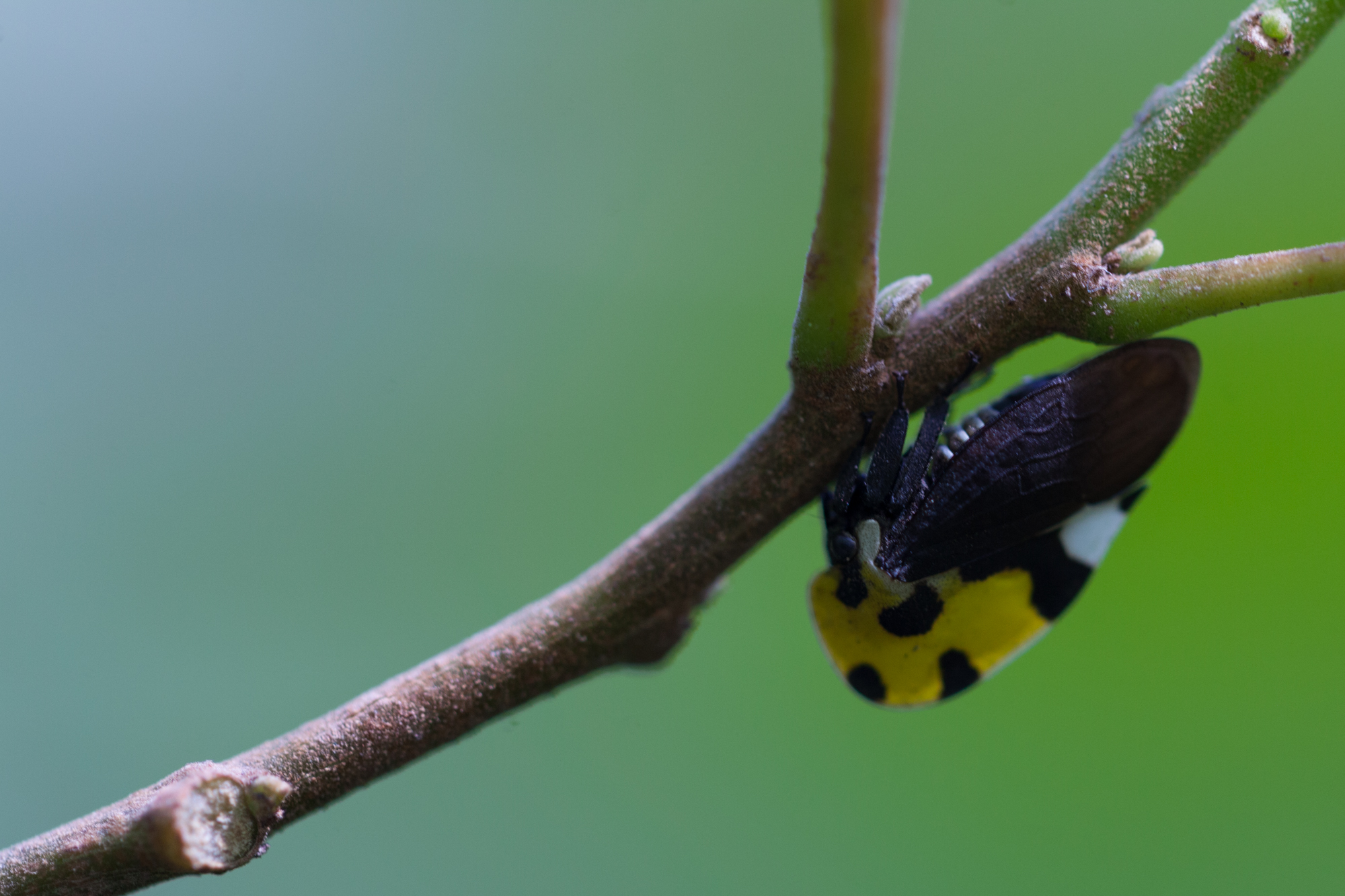 A black and yellow treehopper ( Membracis mexicana ) also found refuge at the Spirogyra Butterfly Exhibit.