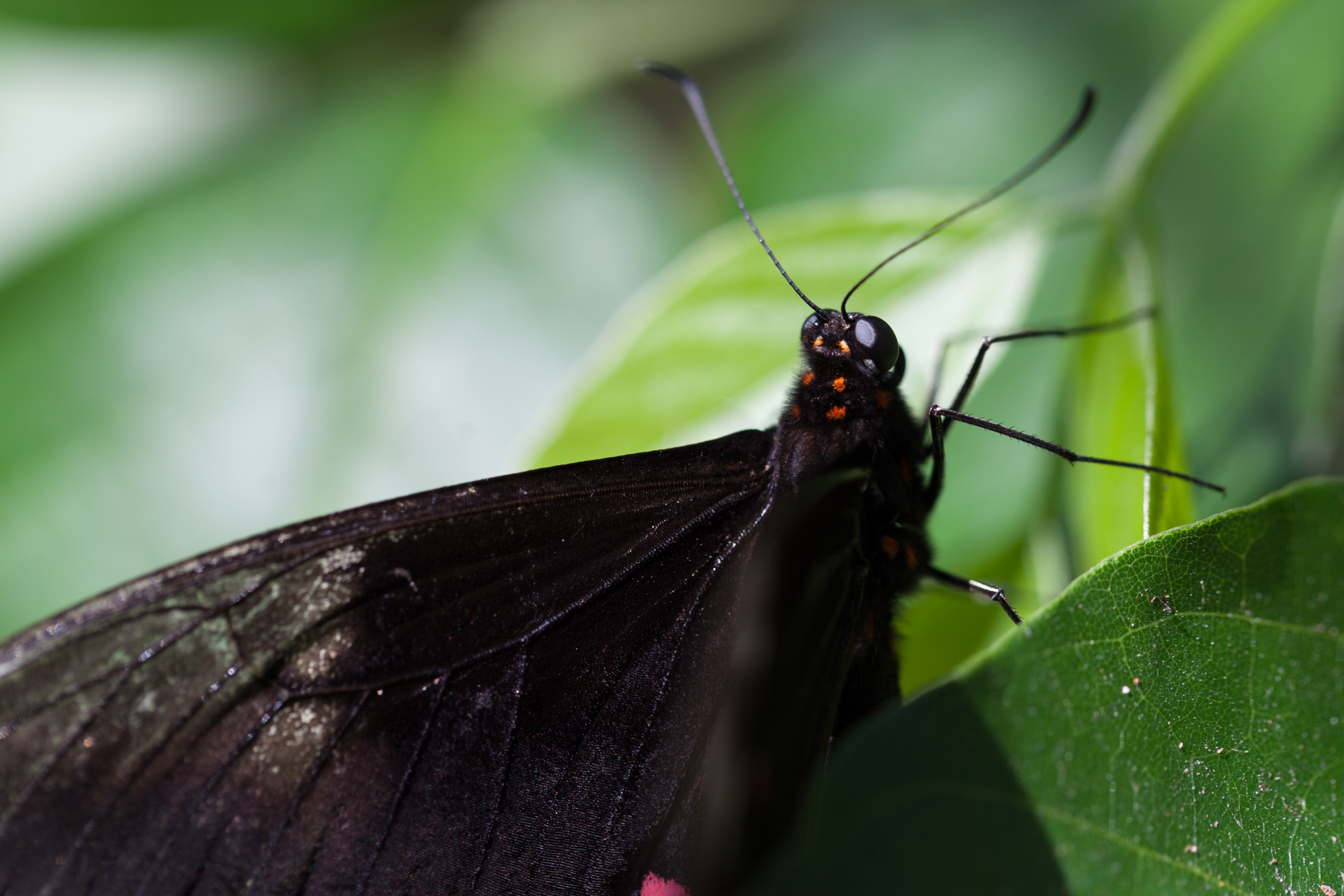 Close up on a Common Mormon ( Papilio polytes ).