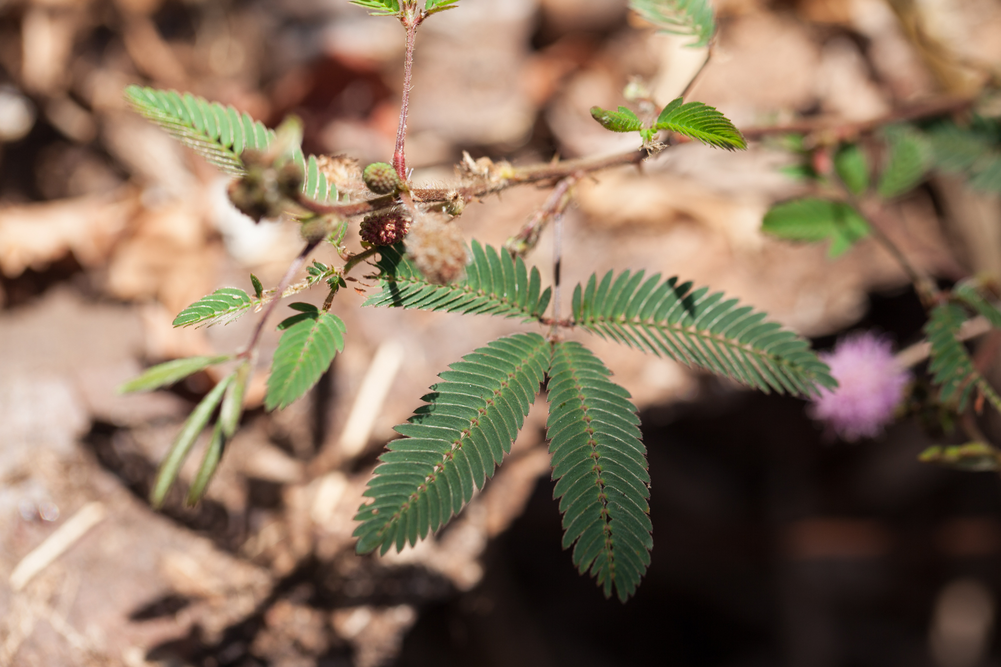 "Mimosa pudica  folds up its leaves as soon as it's touched. The species name ""pudica"" literally means shy.  It can act as a mild sedative, but the dosage will depend on the person."
