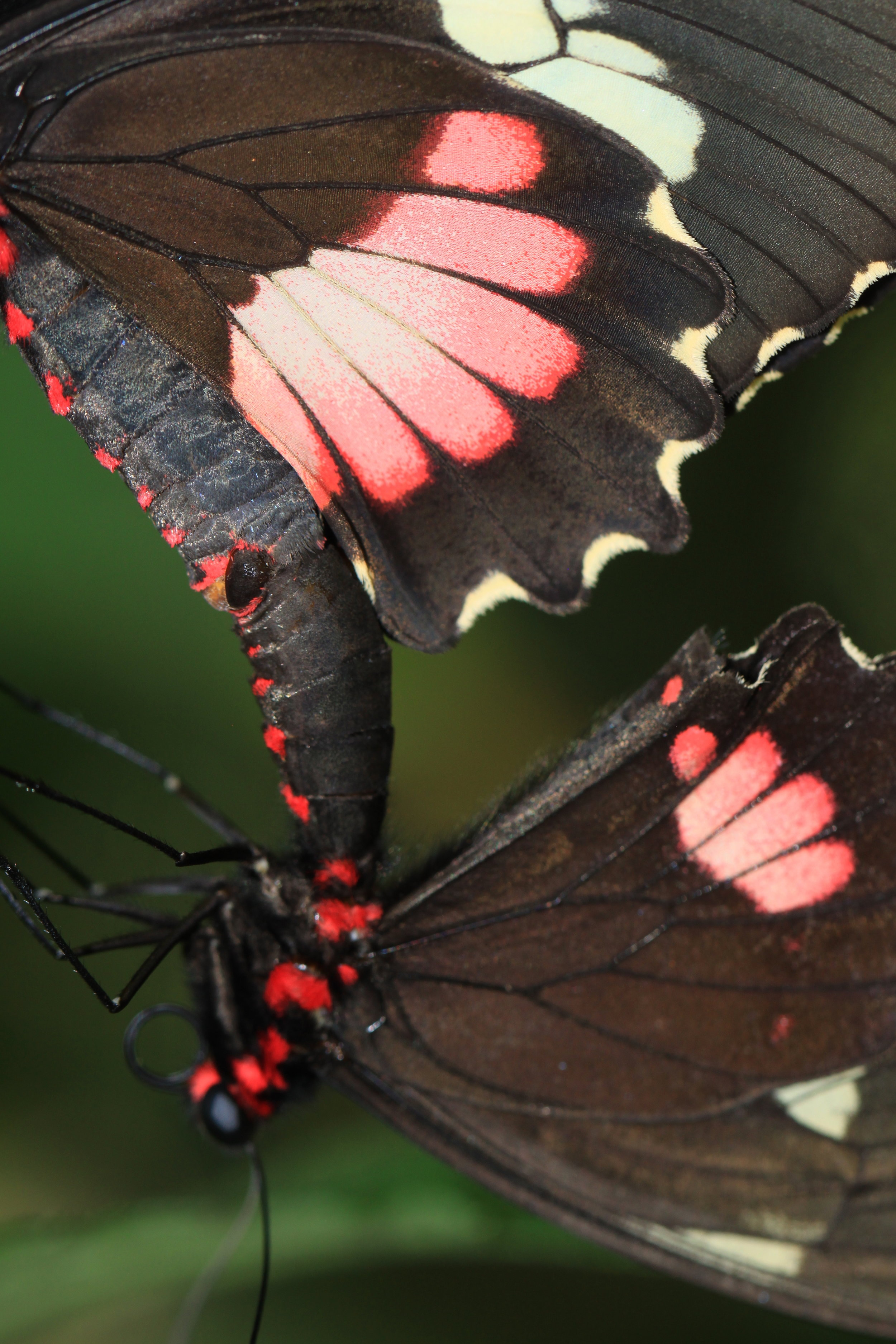 Close-up of Pink-checked Cattleheart ( Parides eurimedes ) mating.