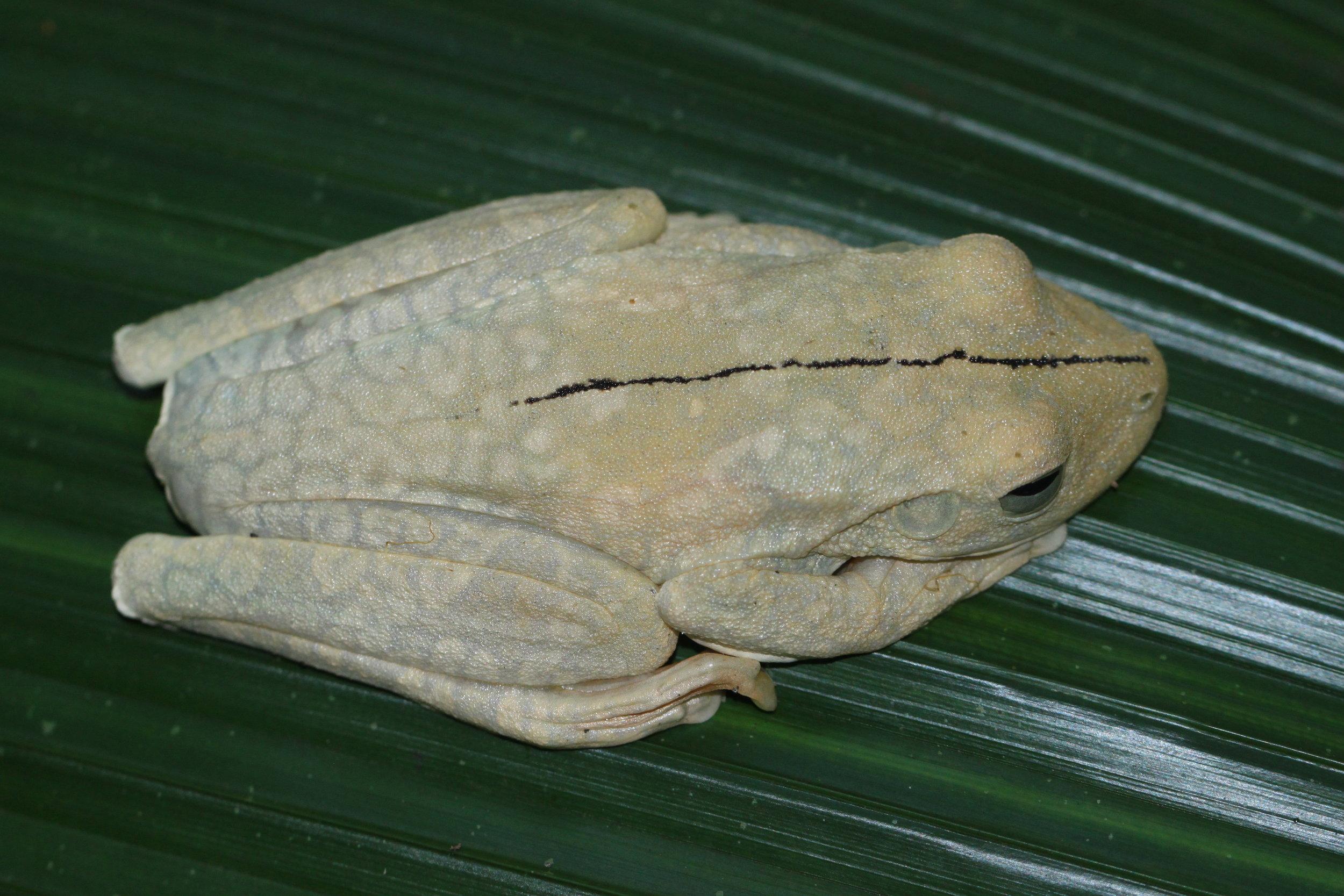 Example of undisturbed Gladiator Tree Frog ( Hypsiboas rosenbergi ) in white phase.