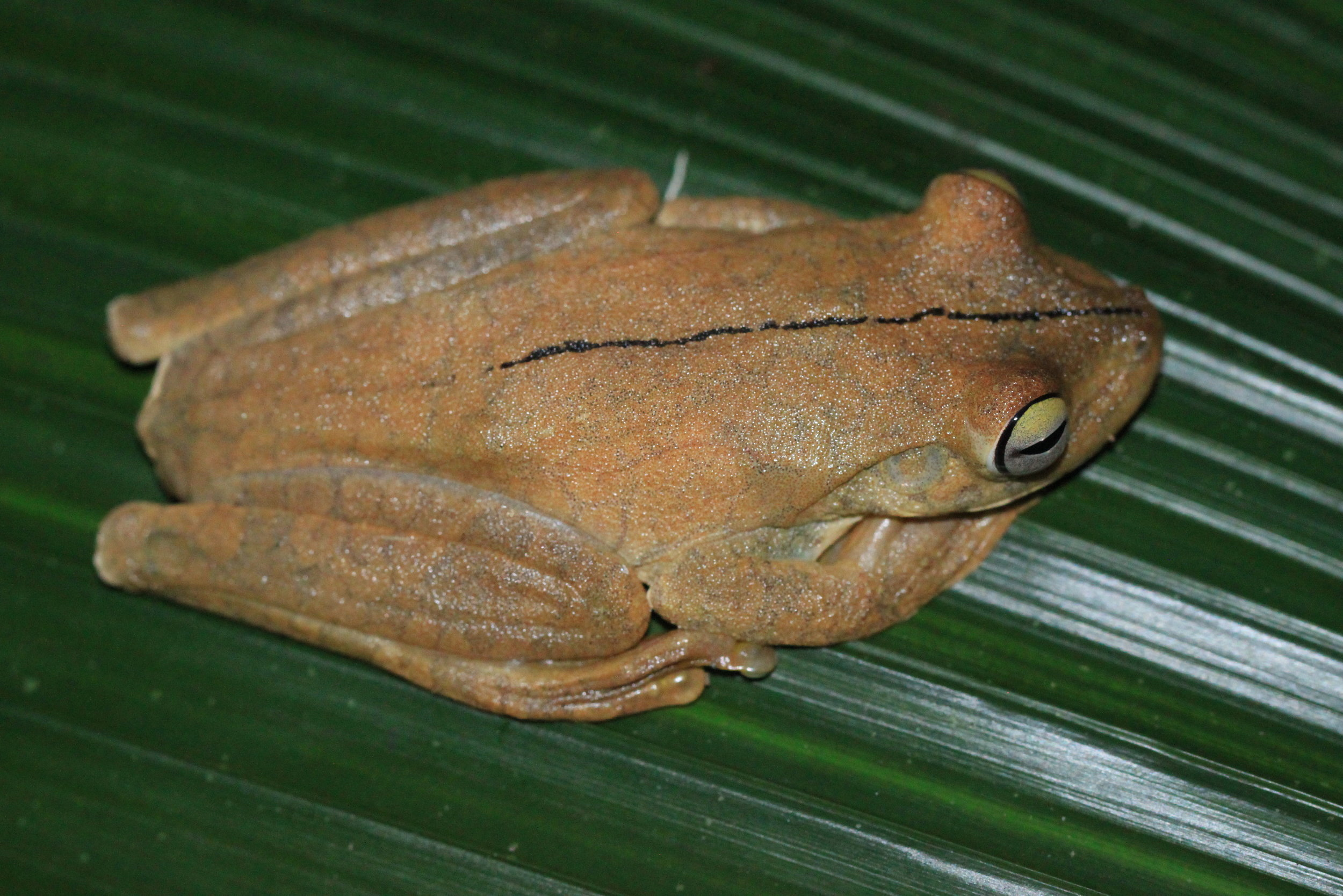 Example of disturbed Gladiator Tree Frog ( Hypsiboas rosenbergi) in brown phase just seconds apart.