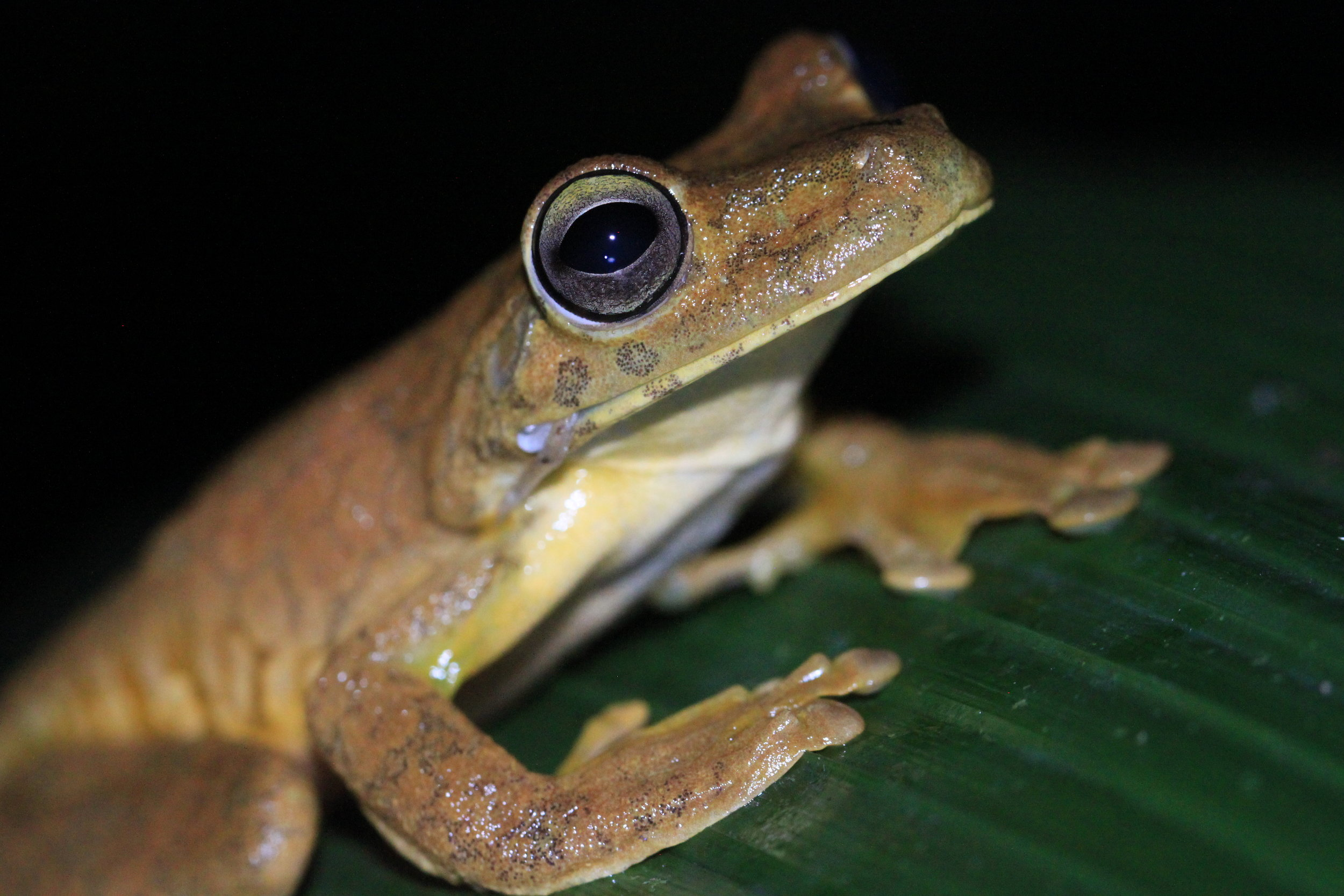 Gladiator Tree Frog ( Hypsiboas rosenbergi ) on alert.