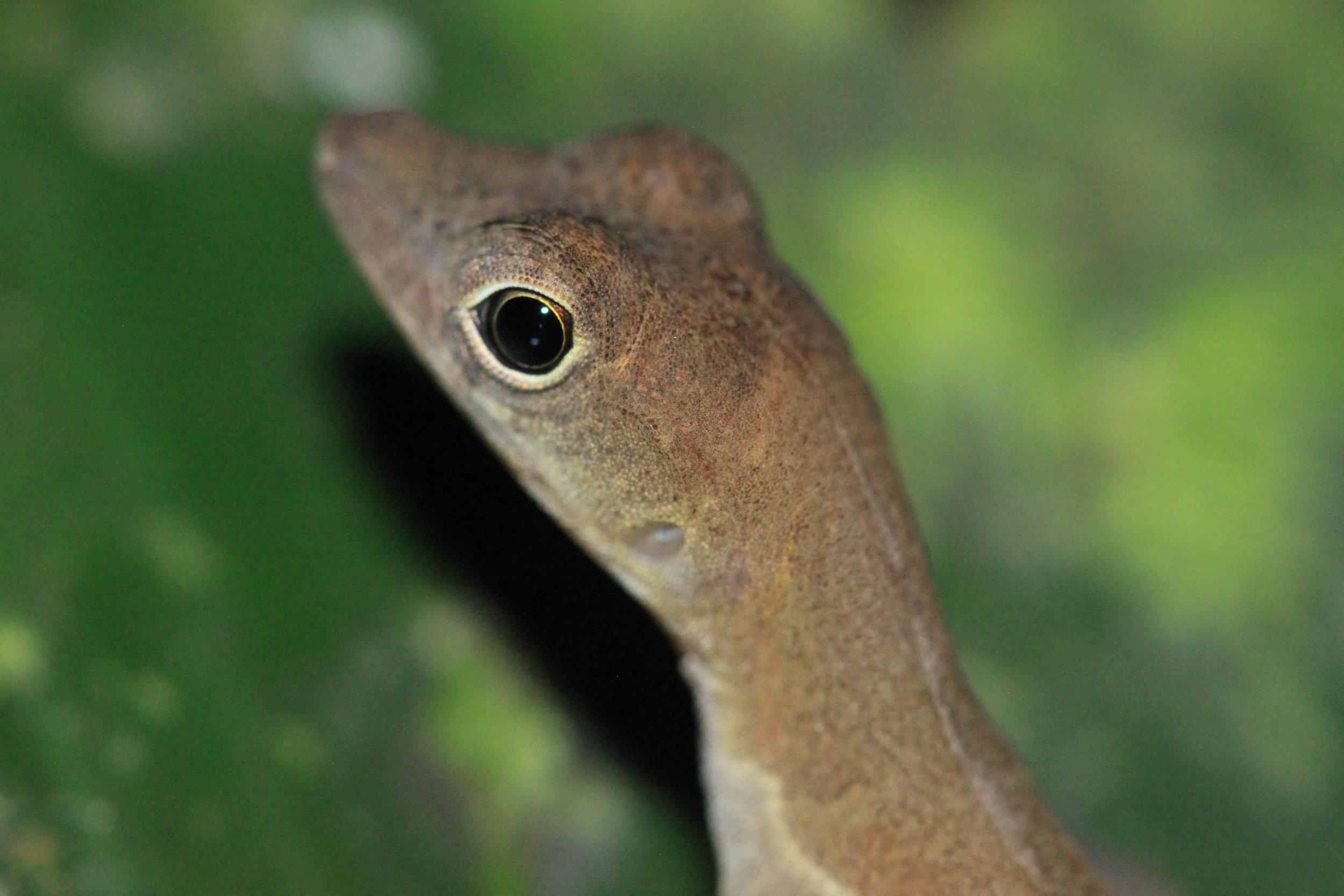 House gecko ( Hemidactylus frenatus ) on alert.