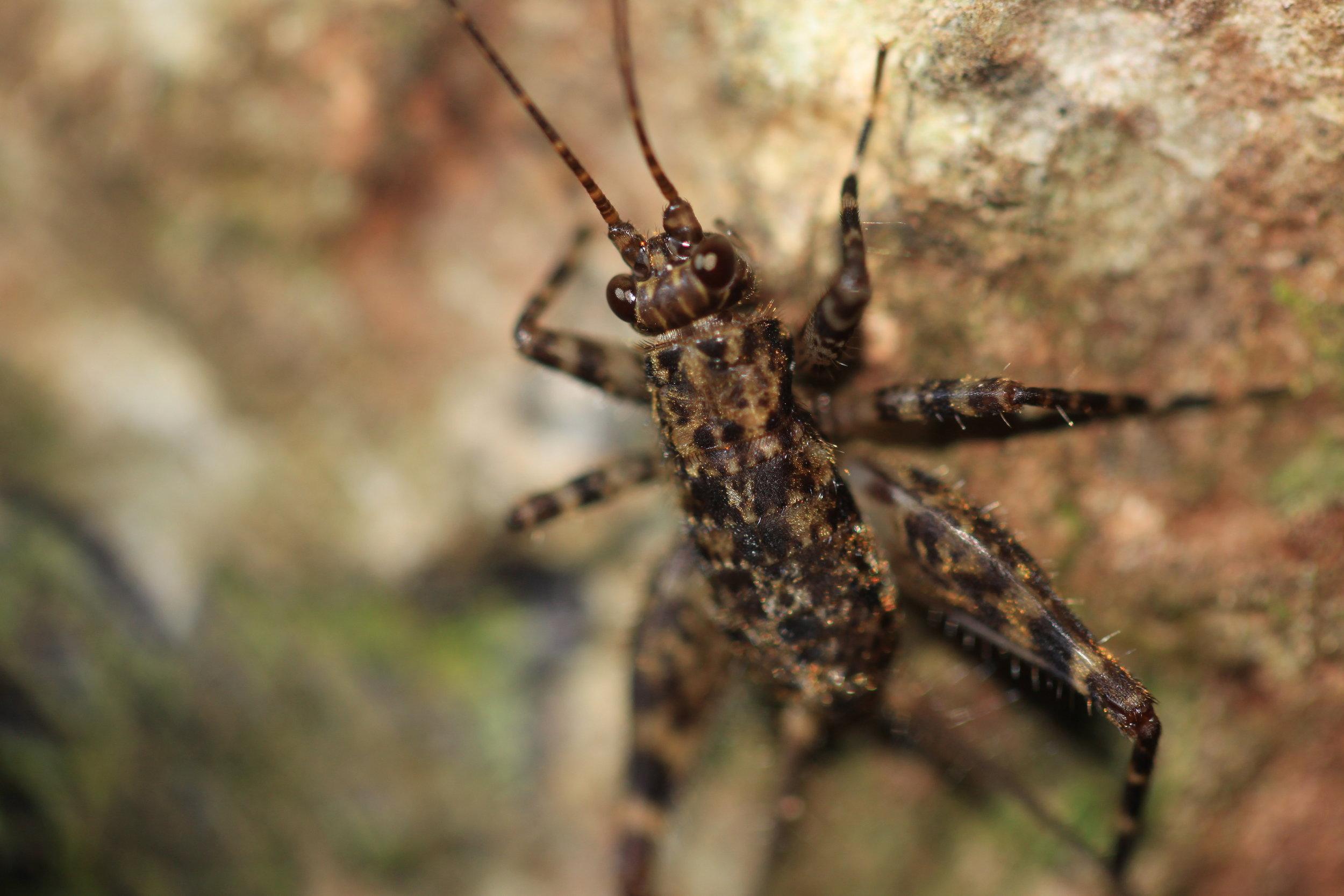 cricket-Costa-Rica.jpg
