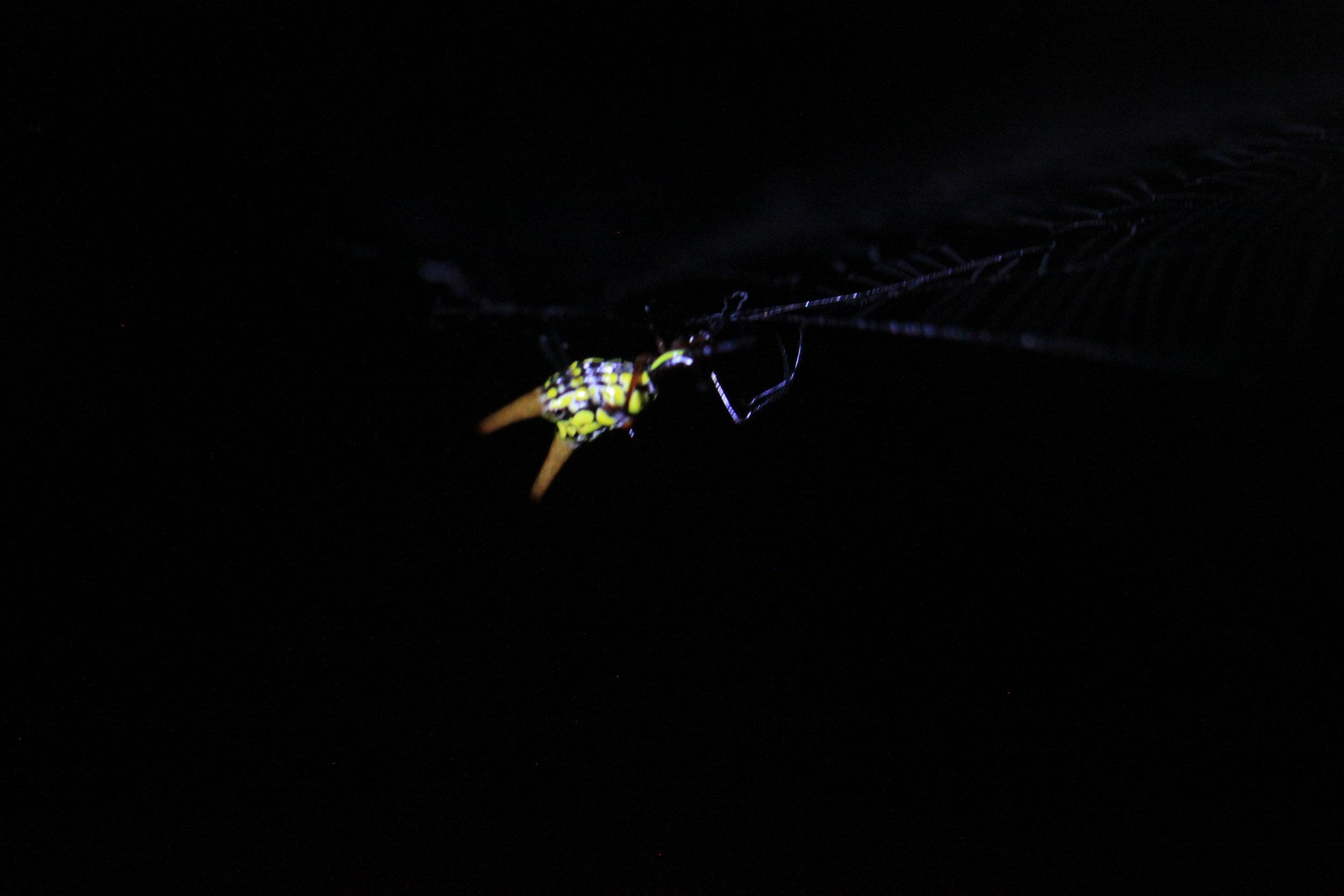 Arrowhead spider ( Micrathena  sp.) on web.