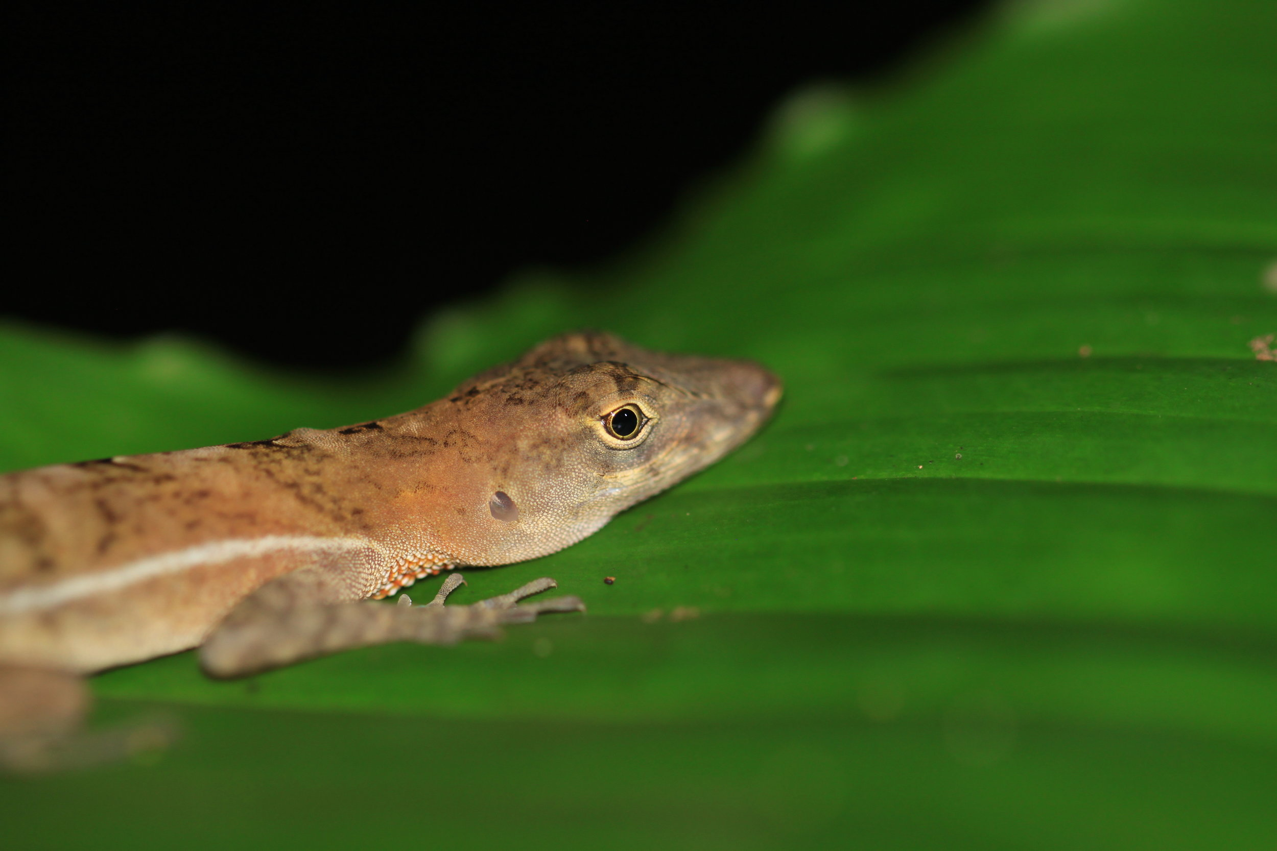 I think this is a lemur anole ( Norops lemurinus ).