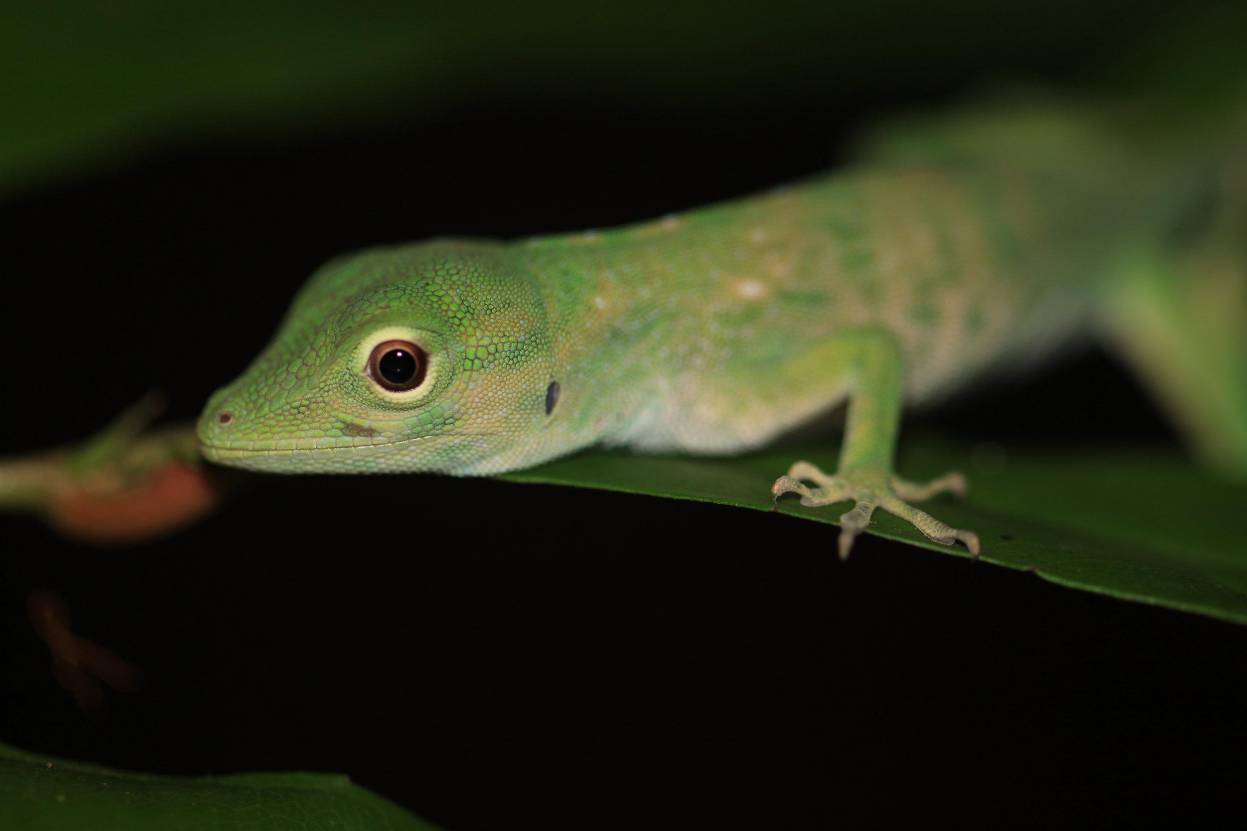 green-anole-Costa-Rica.jpg