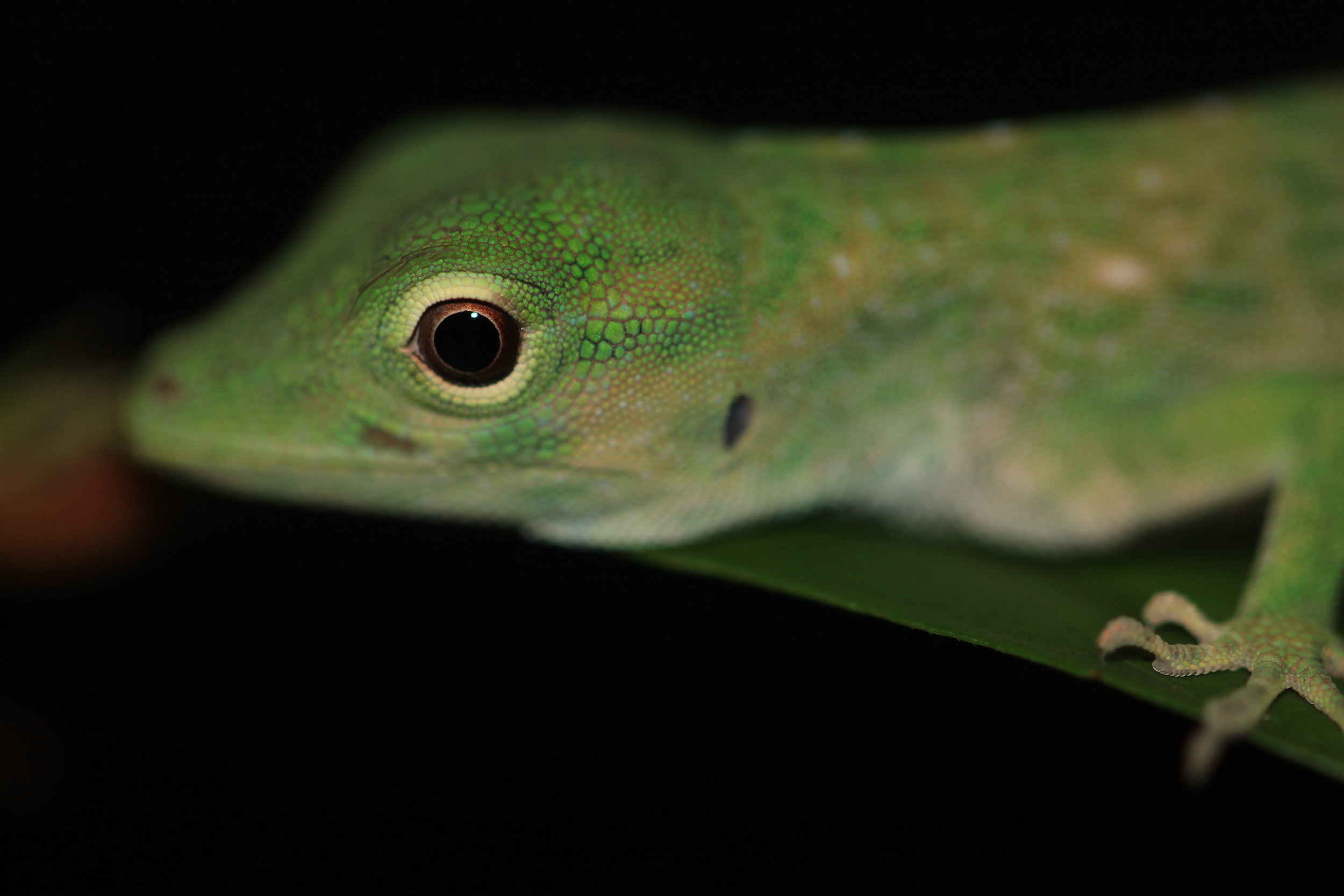 green-anole-up-close.jpg