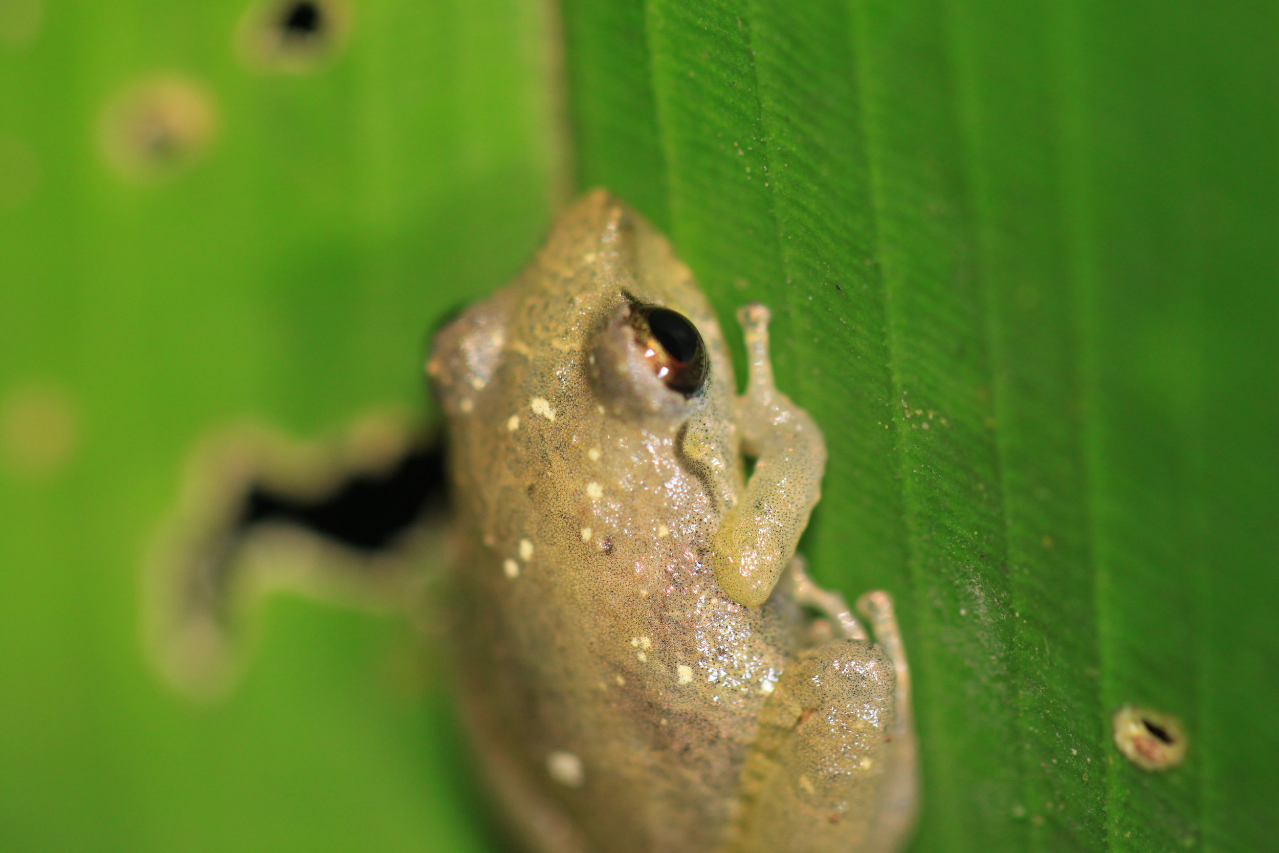 Olive tree frog ( Scinax elaeochrous )