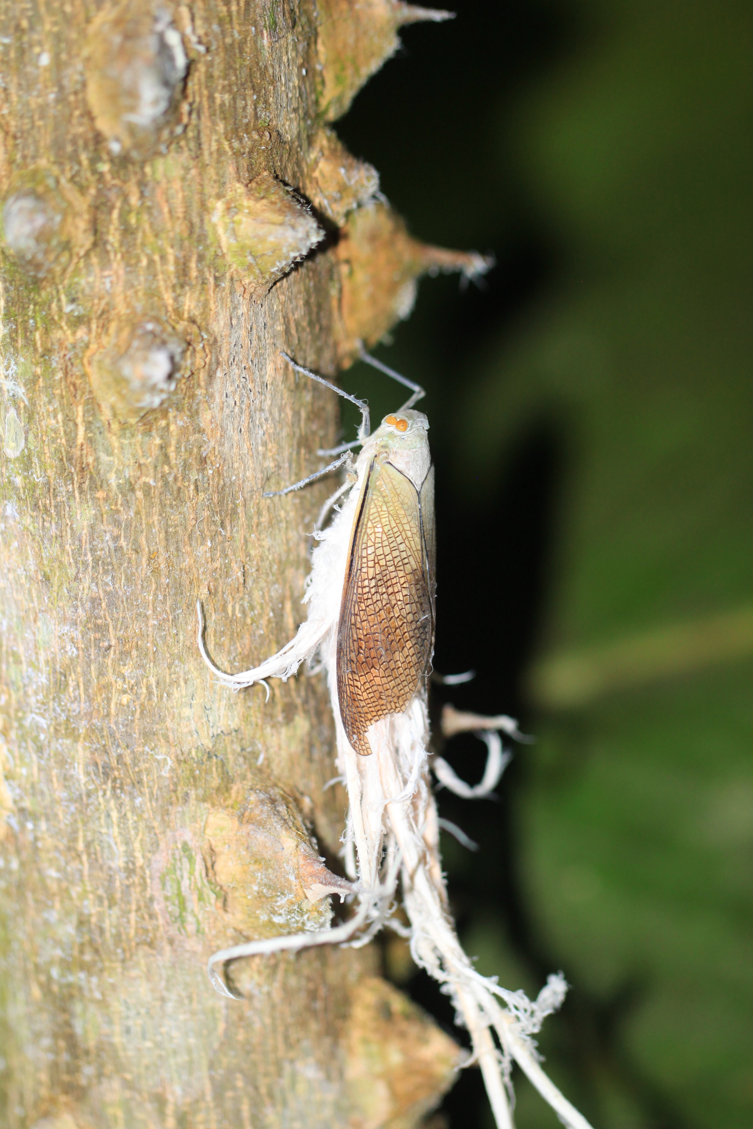 """Wax tail hopper ( Pterodictya reticularis ) who has a sweet, cotton-candy like """"tail"""""""