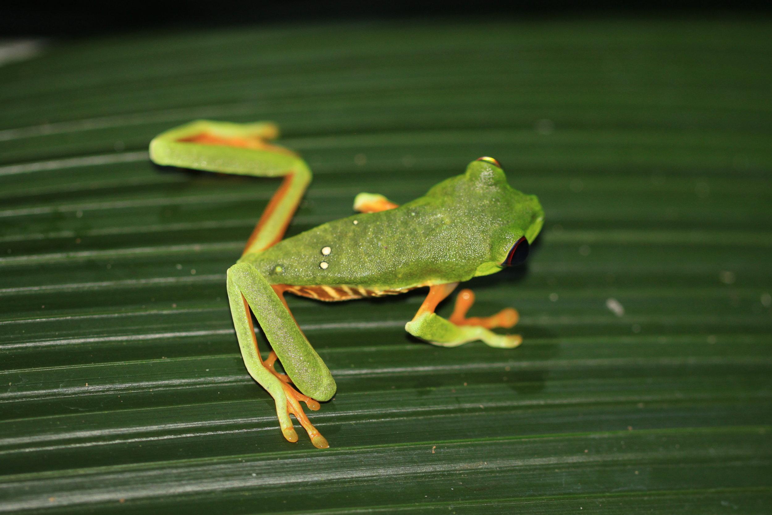 red-eyed-tree-frog-costa-rica.jpg